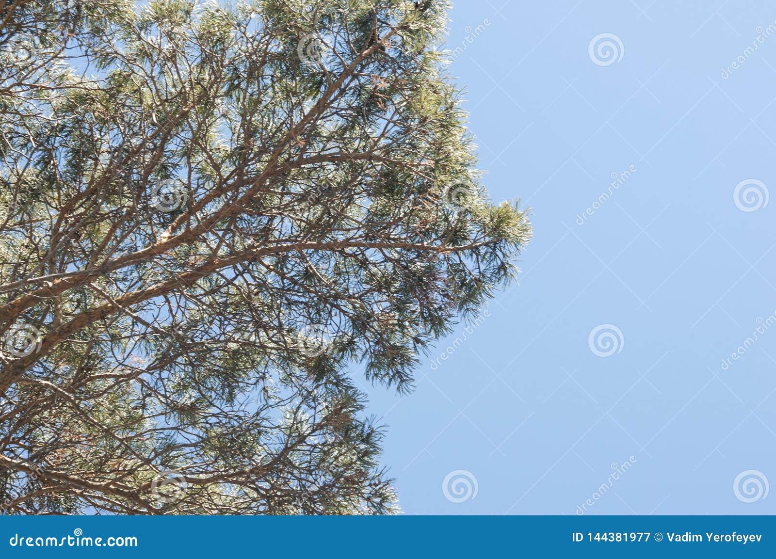 Einer Kiefer, grüne Kiefernnadeln gegen einen blauen Himmel oben betrachten