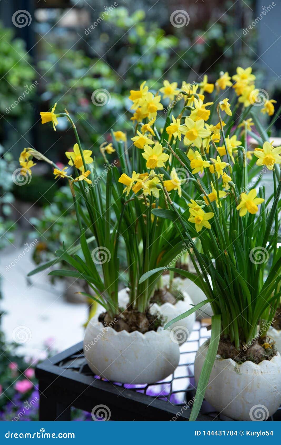 Eingemachte Narzisse, Lawinenblumen Tazetta-Narzissen Abteilungs-8, die im Frühjahr in der Zeit des Gartengeschäftes blühen