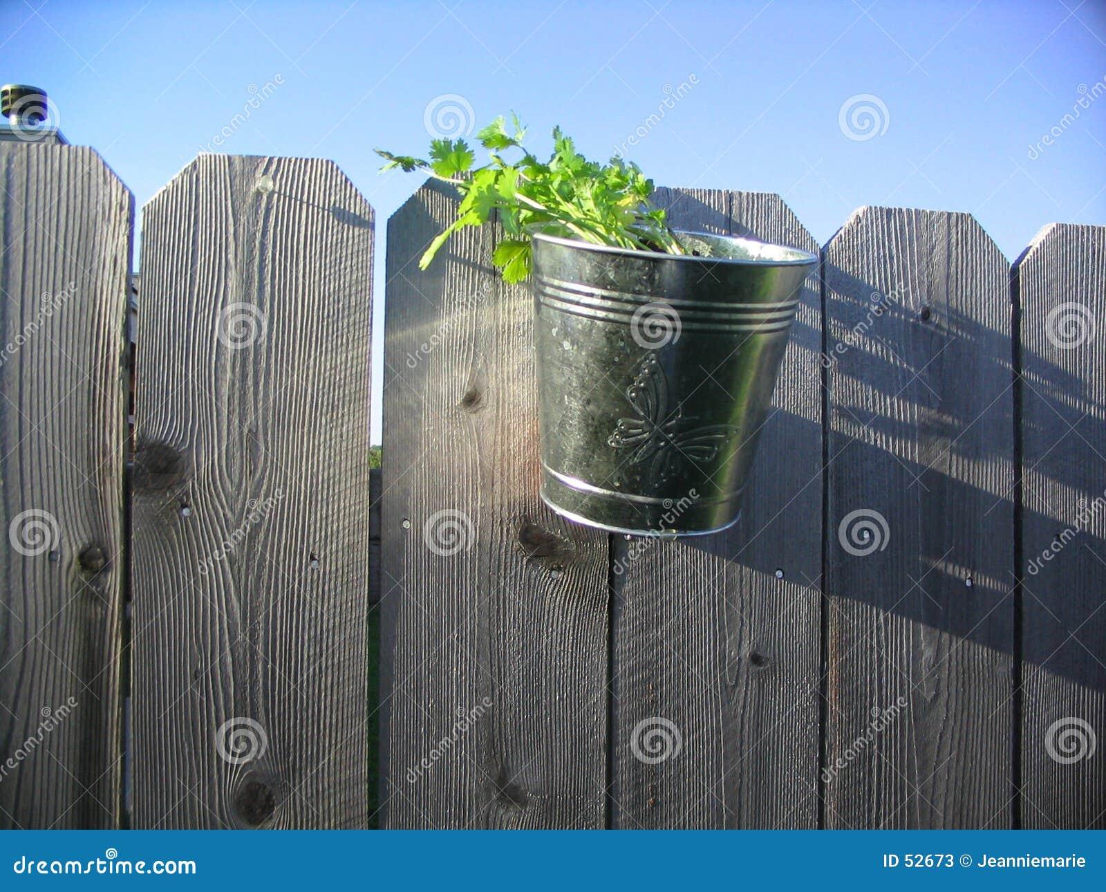Eingemachter Cilantro auf einem Zaun