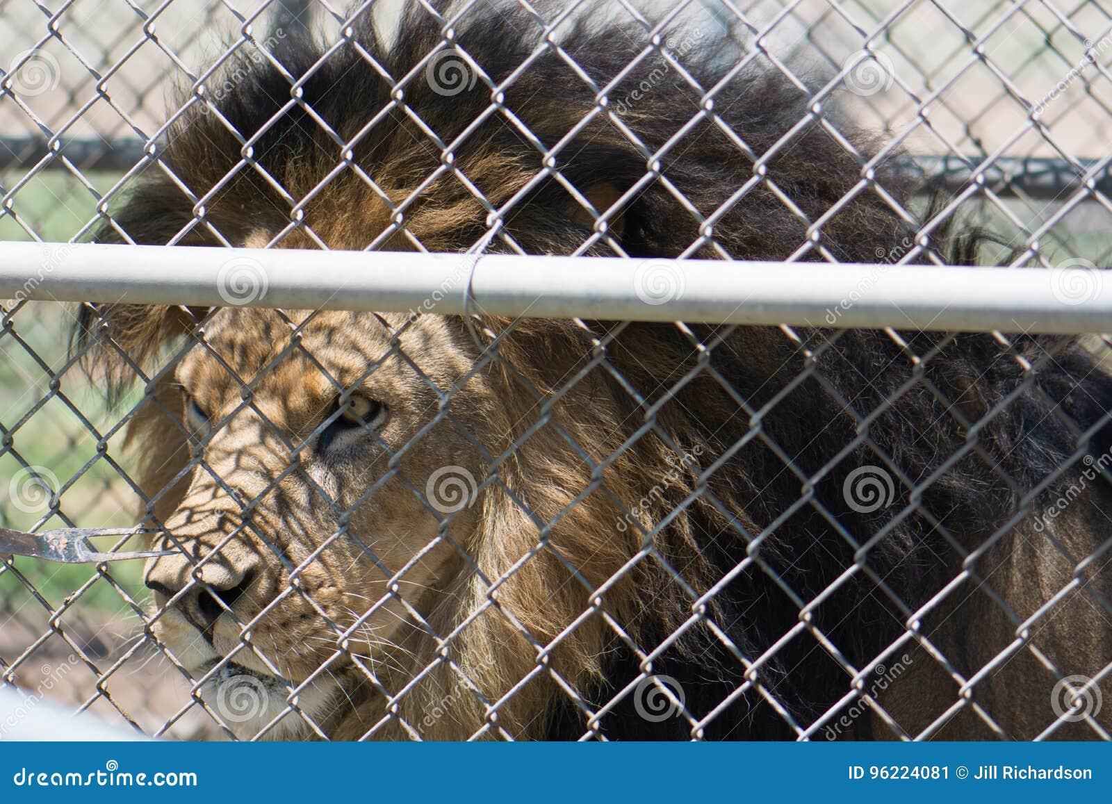 Verschiedene Loewe Zaun Referenz Von Eingesperrter Männlicher Löwe Mit Einer Mähne Nahaufnahme