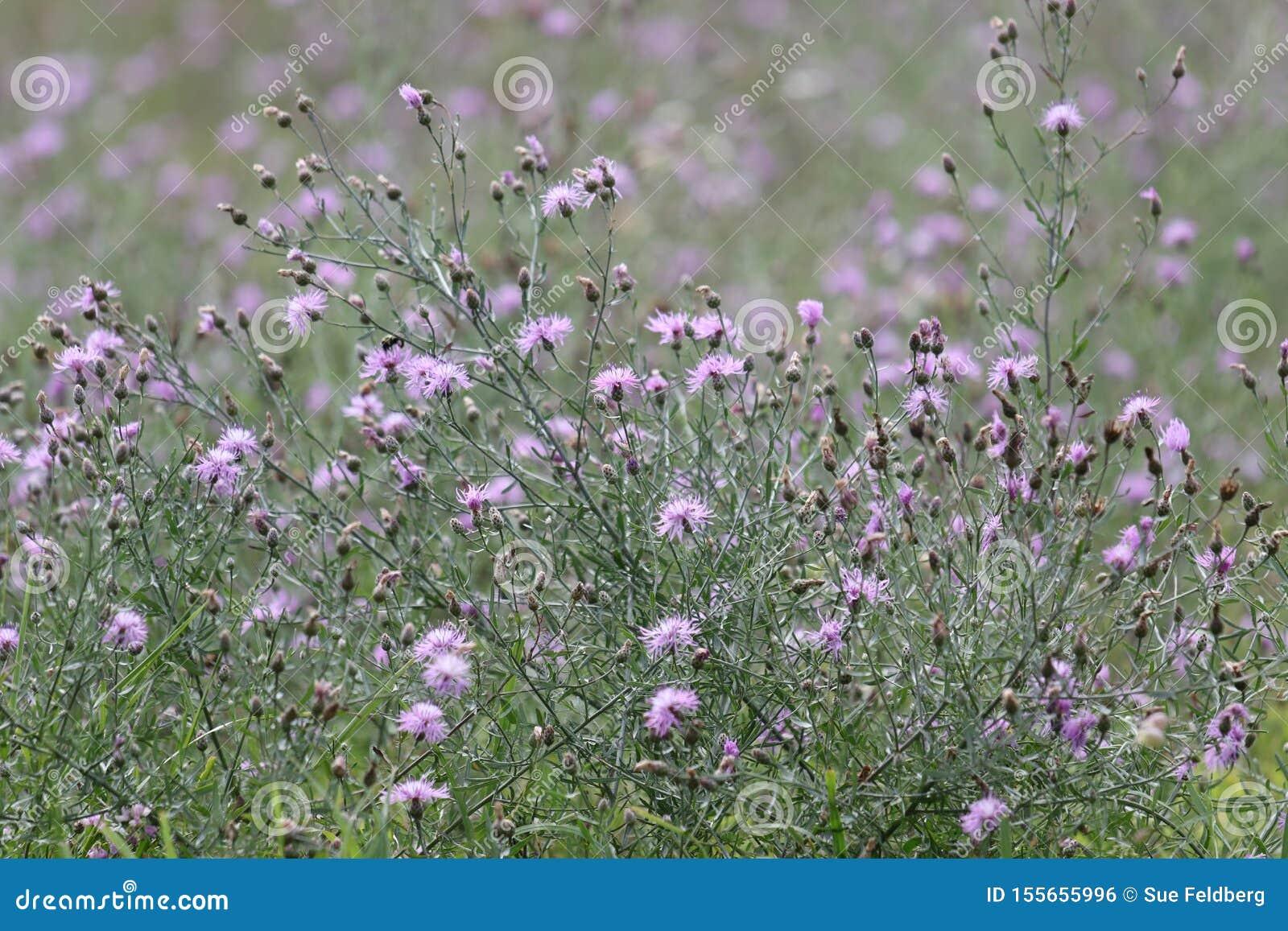 Eingreifende purpurrote beschmutzte Flockenblume