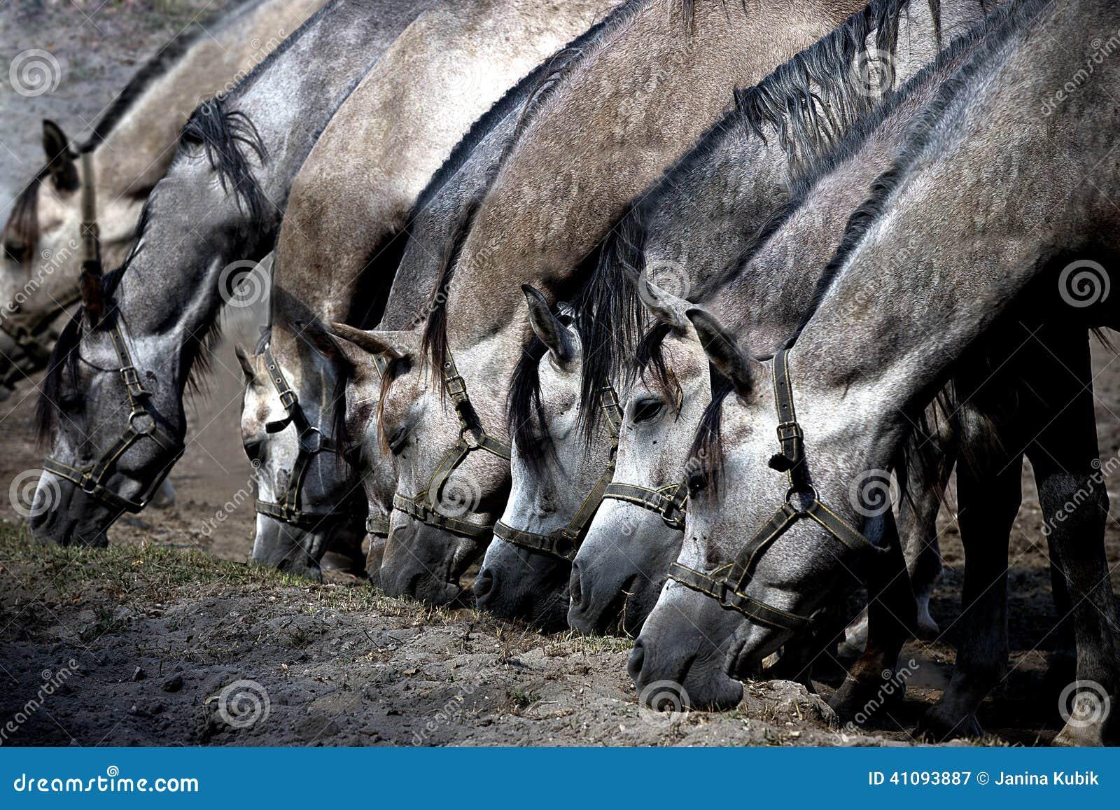 Einige Pferde, die trockenes Gras essen