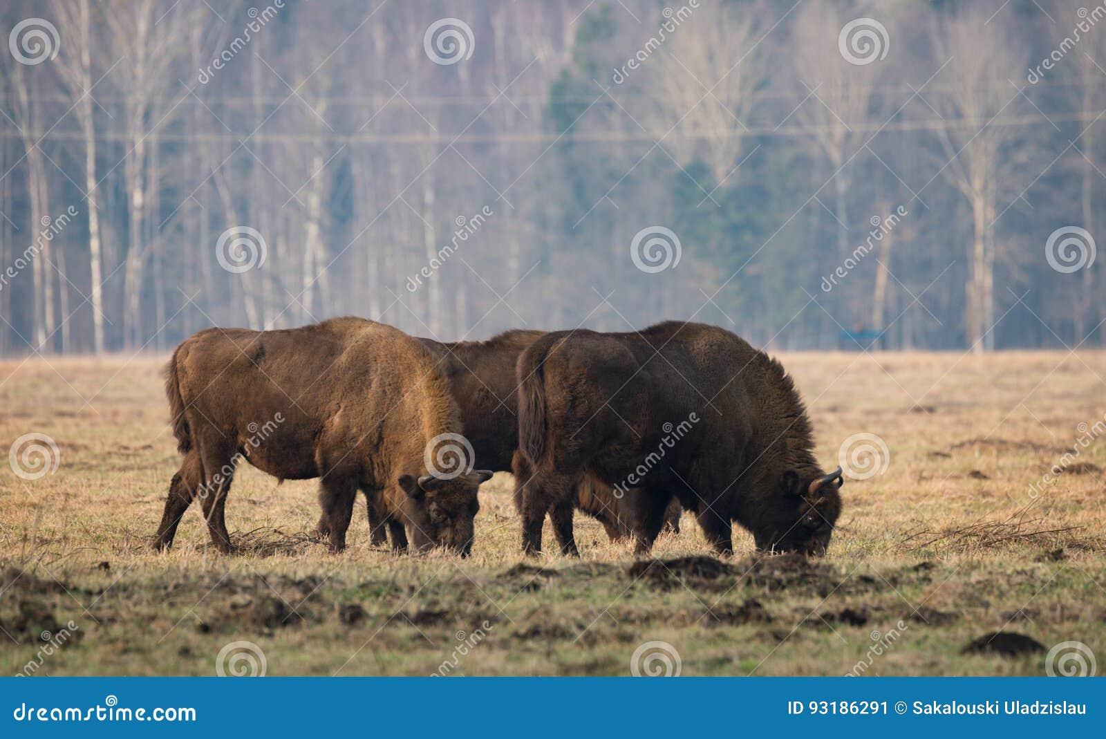 Einiges großer Aurochs, der auf dem Feld weiden lässt Etwas großer brauner Bison auf dem Waldhintergrund