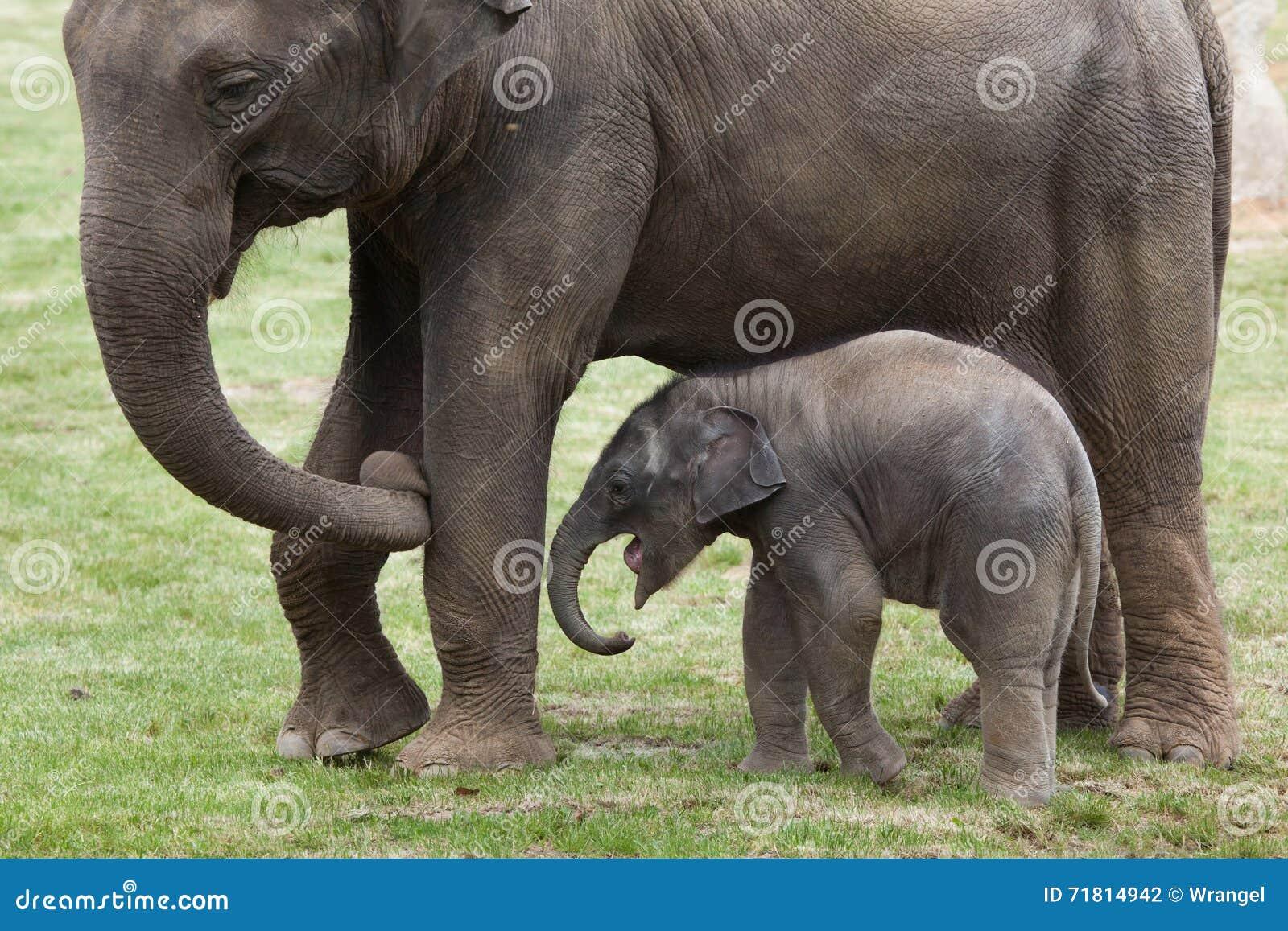 einmonatiger indischer elefant elephas maximus indicus