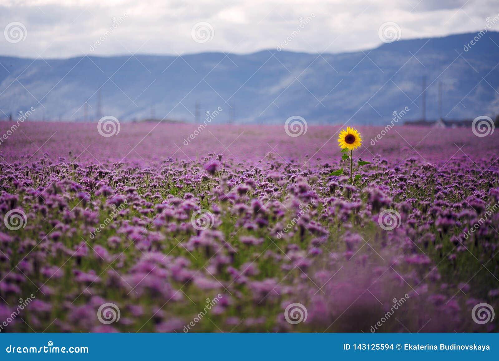 Einsame Sonnenblume auf dem Gebiet