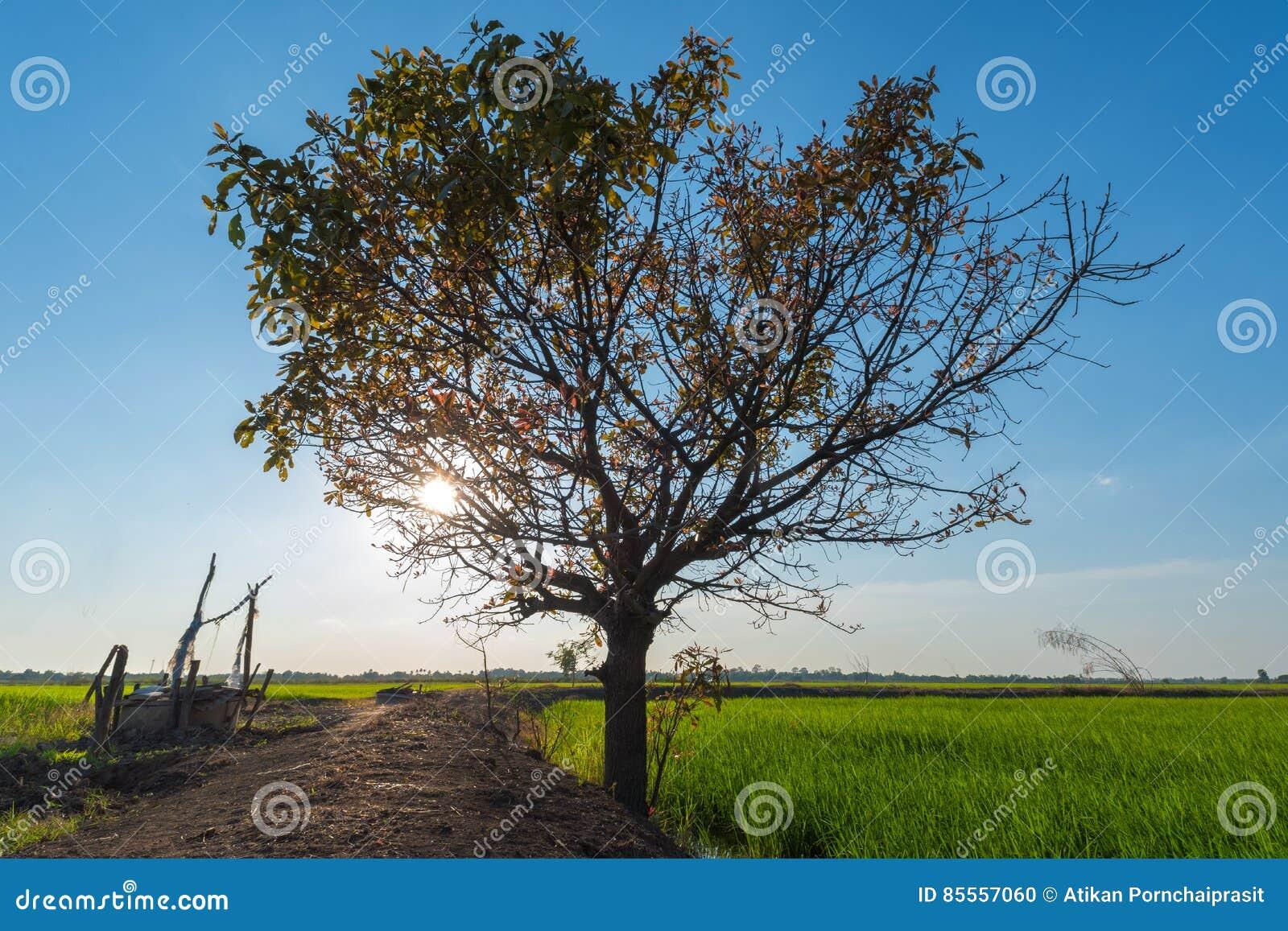 Einsamer Baum mit grünem Reisfeld
