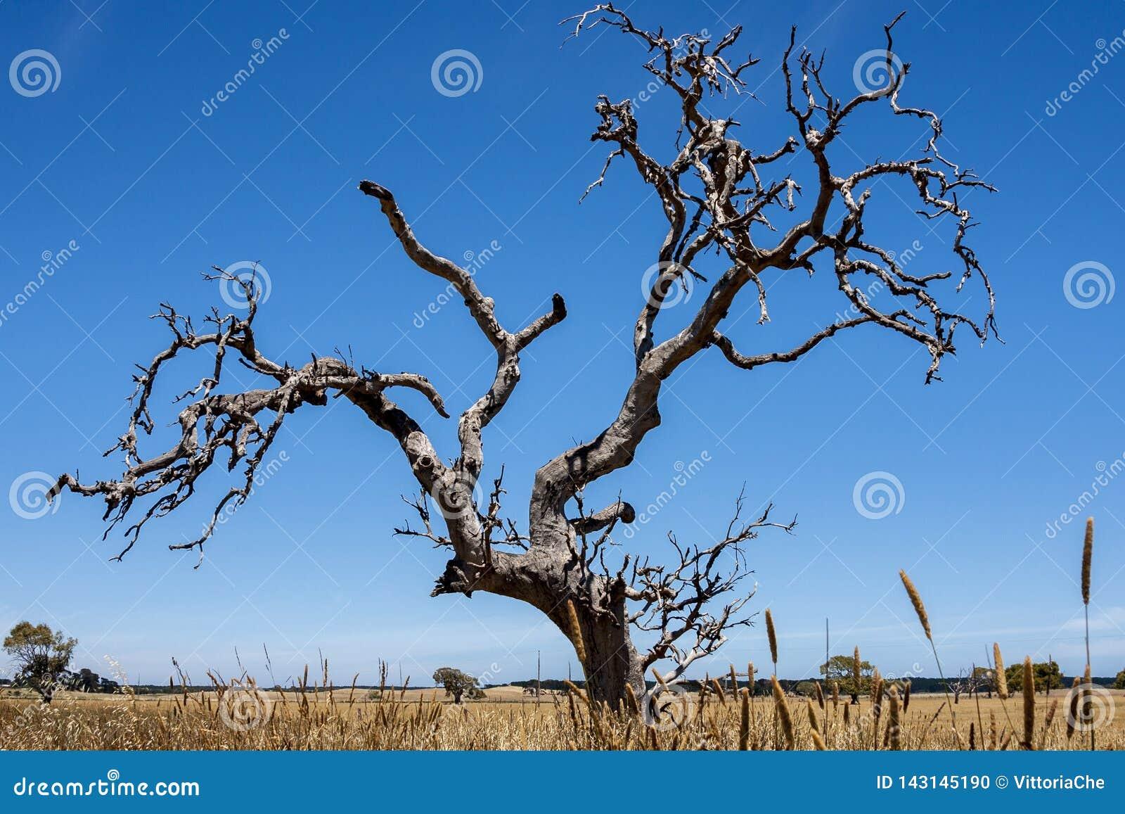 Einsamer bloßer Baum in Australien-Wüste, Nordterritorium, fisheye Linse