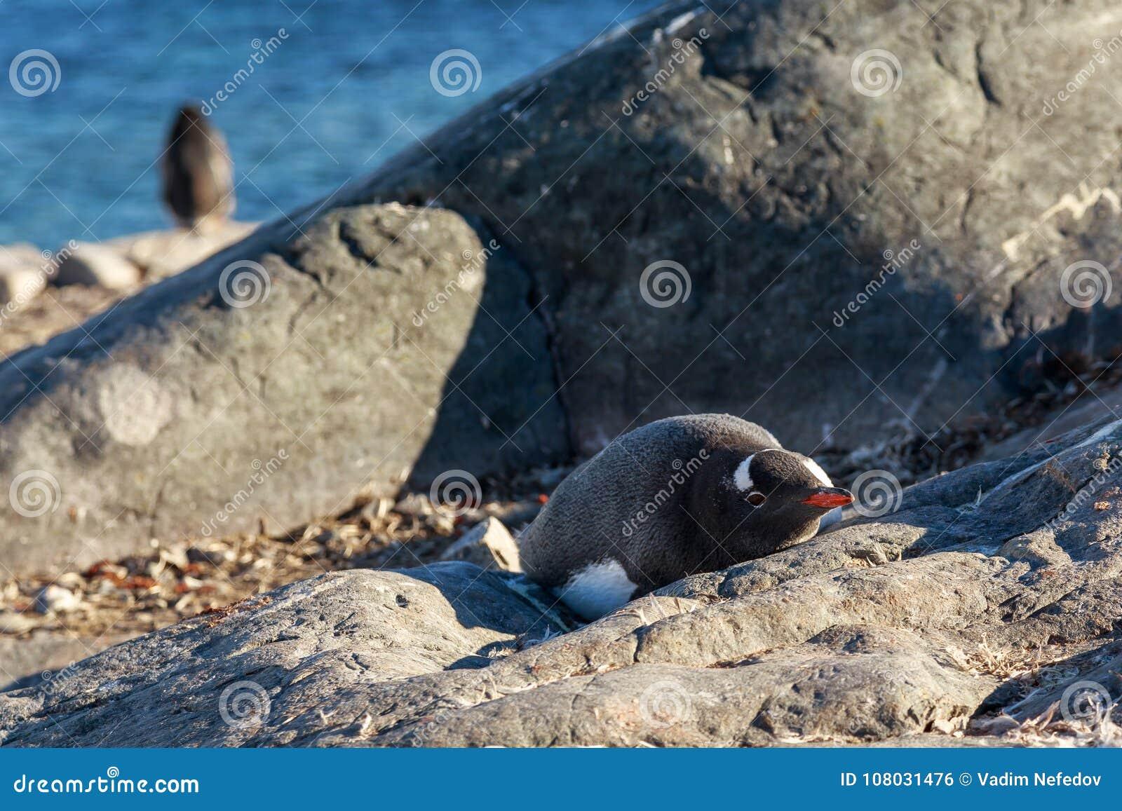 Einsamer gentoo Pinguin, der auf den Steinen, Cuverville Islan ein Sonnenbad nimmt