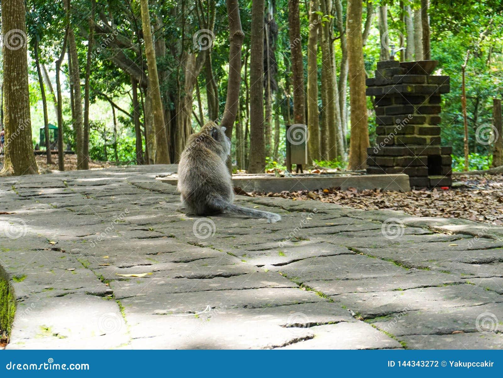 Einsamer Makakenaffe, der auf dem großen Stein wartet seinen Freund im Garten sitzt
