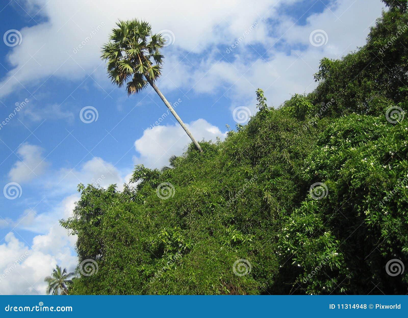 Einsamer tropischer Baum