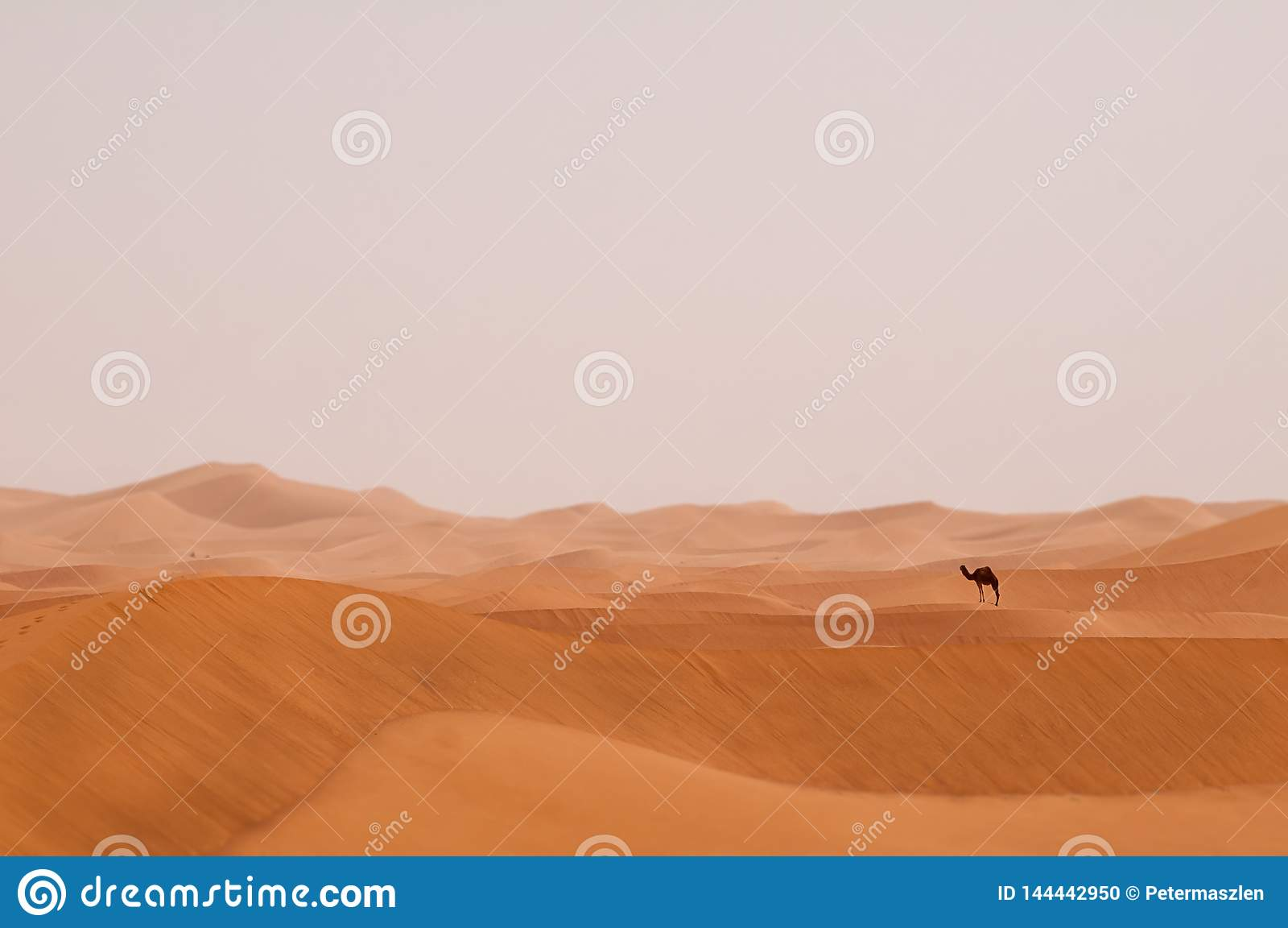Einsames Dromedar in Sahara Desert von Marokko