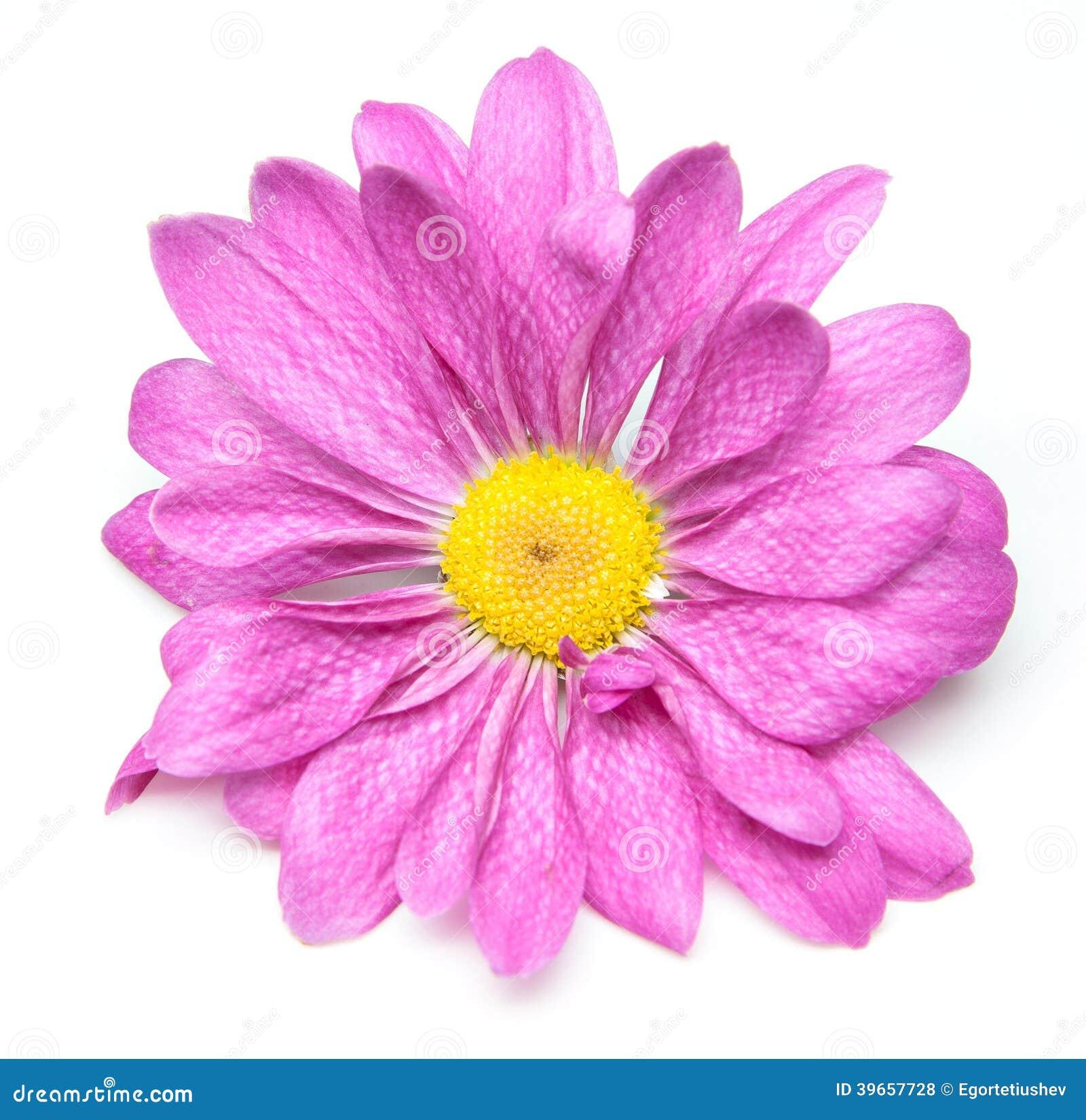 einzelne blume der chrysantheme stockfoto bild 39657728. Black Bedroom Furniture Sets. Home Design Ideas