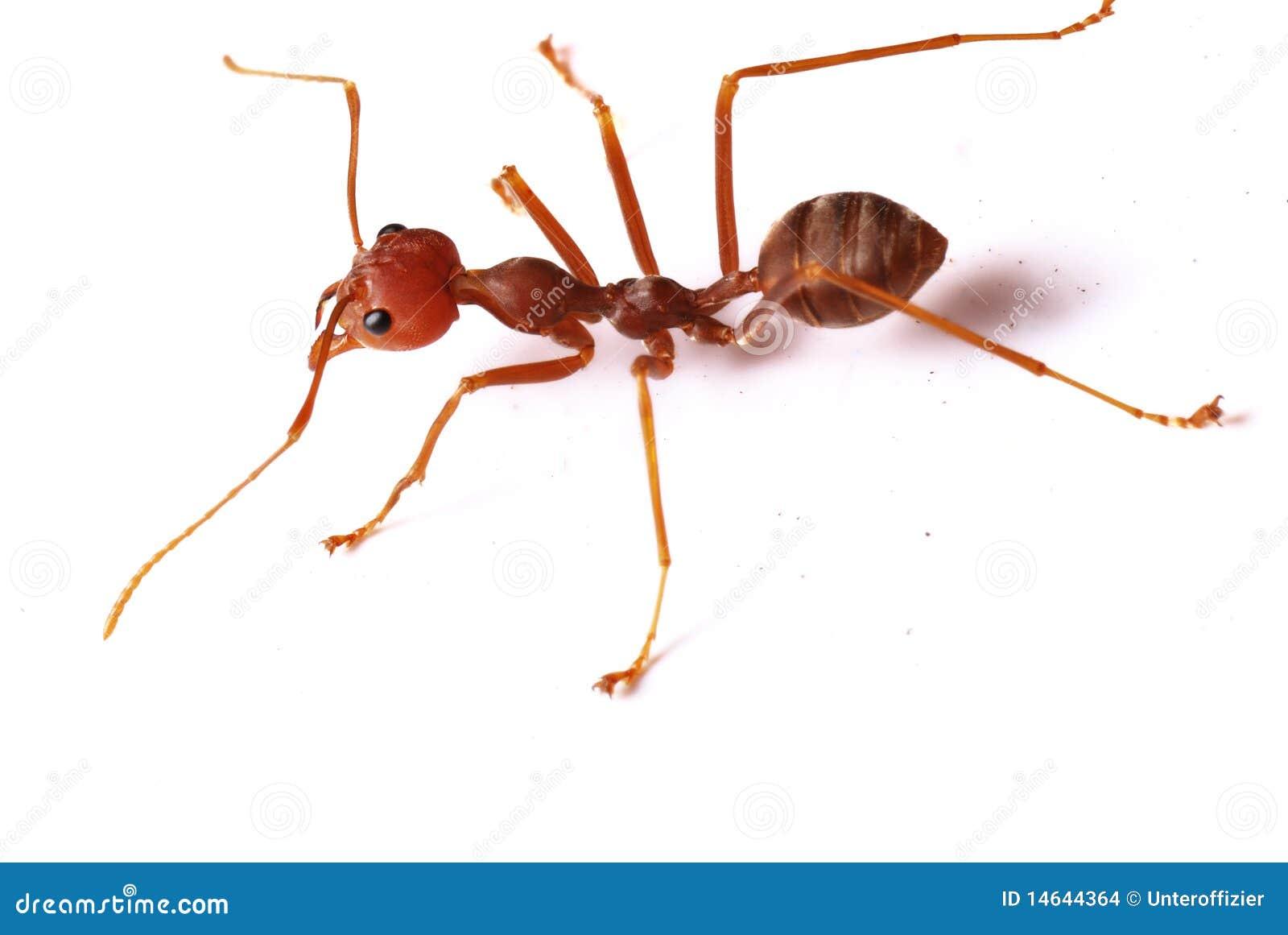 Einzelne rote Ameise stockfoto. Bild von jagd, biologie - 14644364