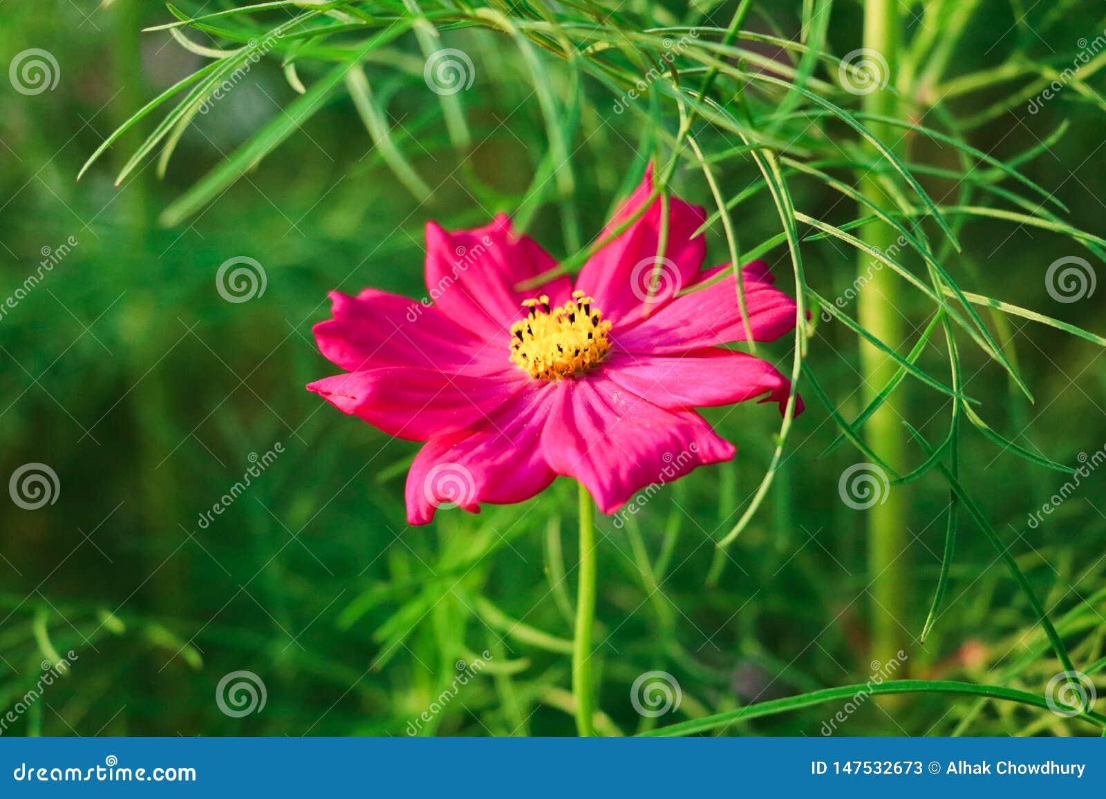 Einzelne rote Blume auf grünen Blättern des grünen Hintergrundes