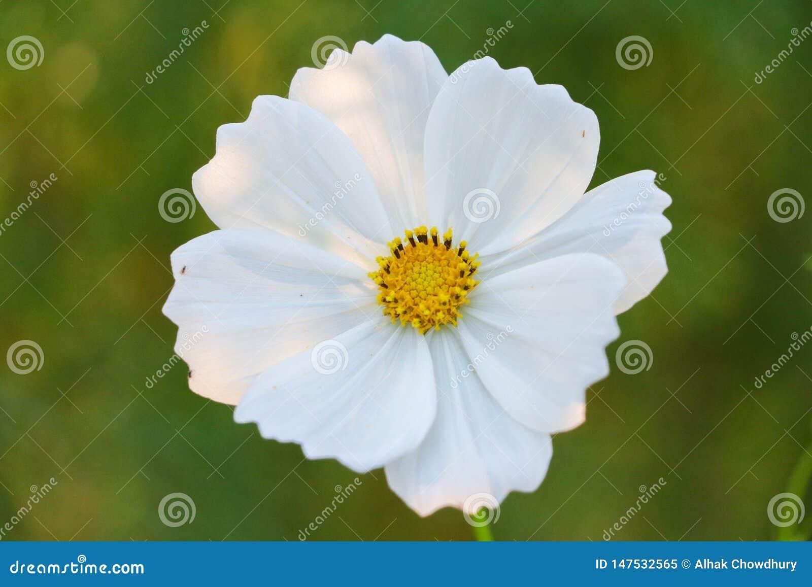 Einzelne weiße Blume auf der grünen Hintergrundfarbe weiß und grün