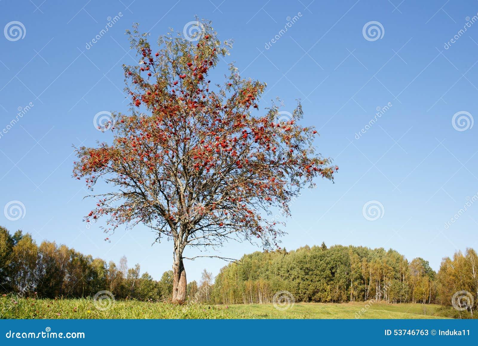Einzelner Ebereschenbaum