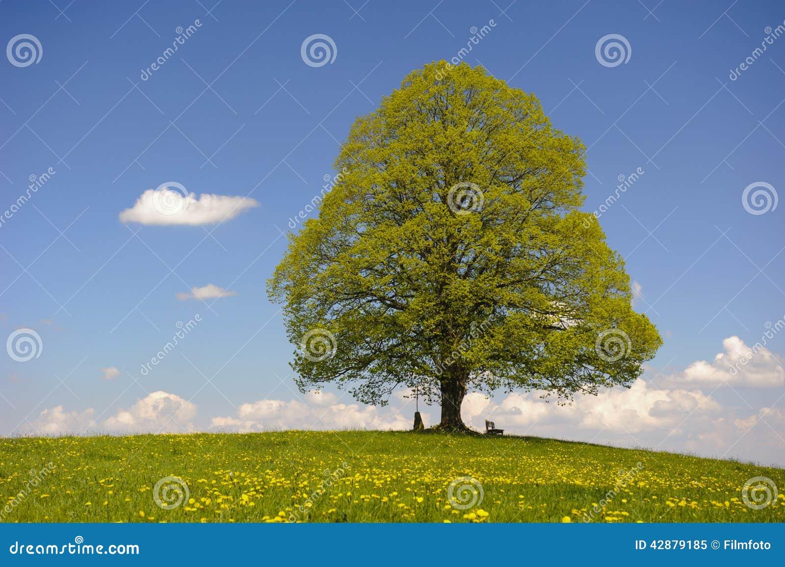 einzelner lindenbaum stockbild bild von hintergrund. Black Bedroom Furniture Sets. Home Design Ideas