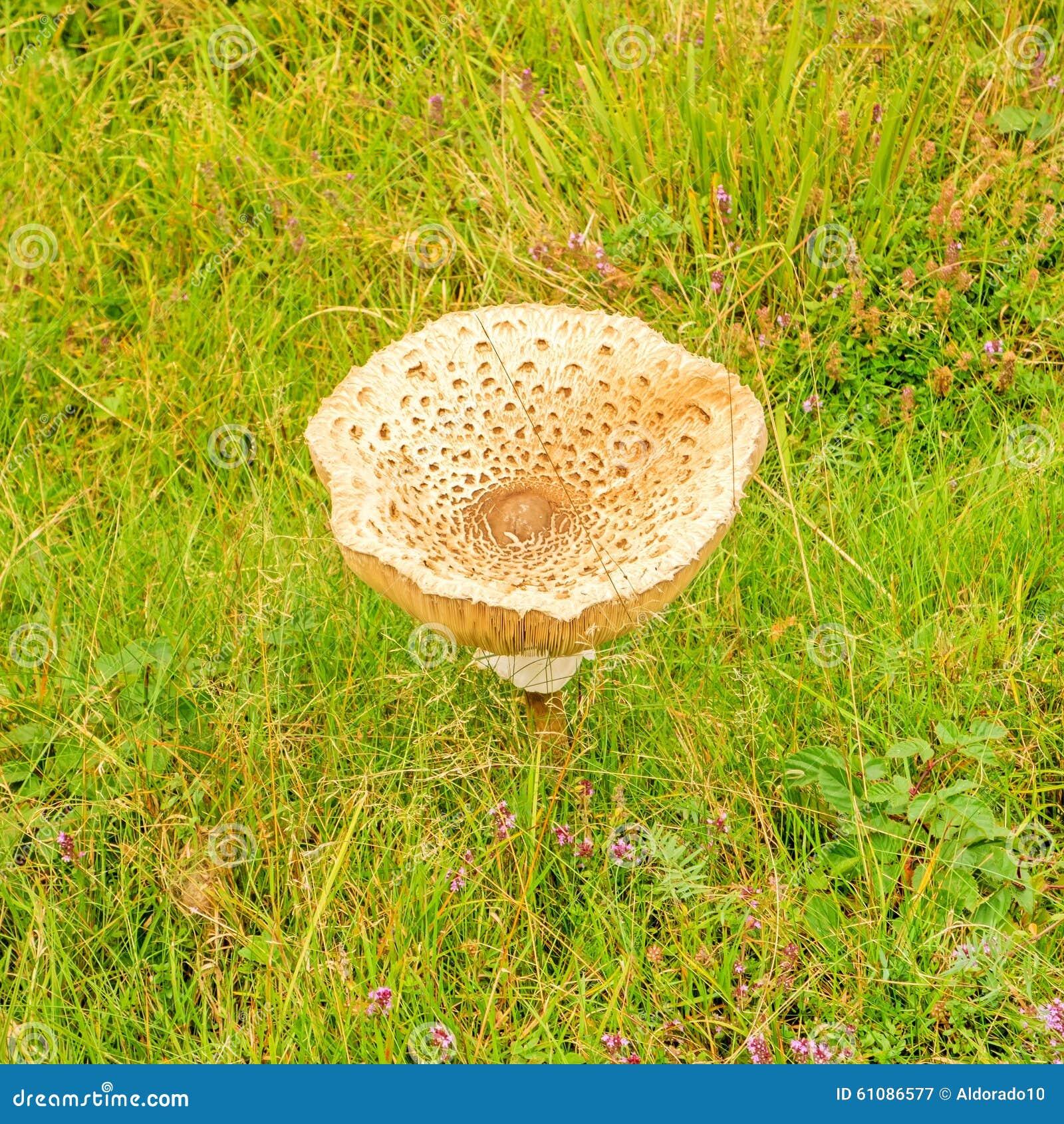 Einzelner Pilz auf grüner Wiese