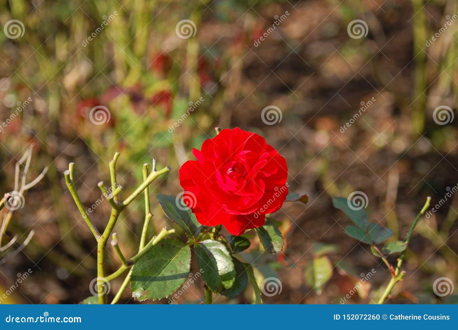 Einzelner Schuss einer roten Gartennelke