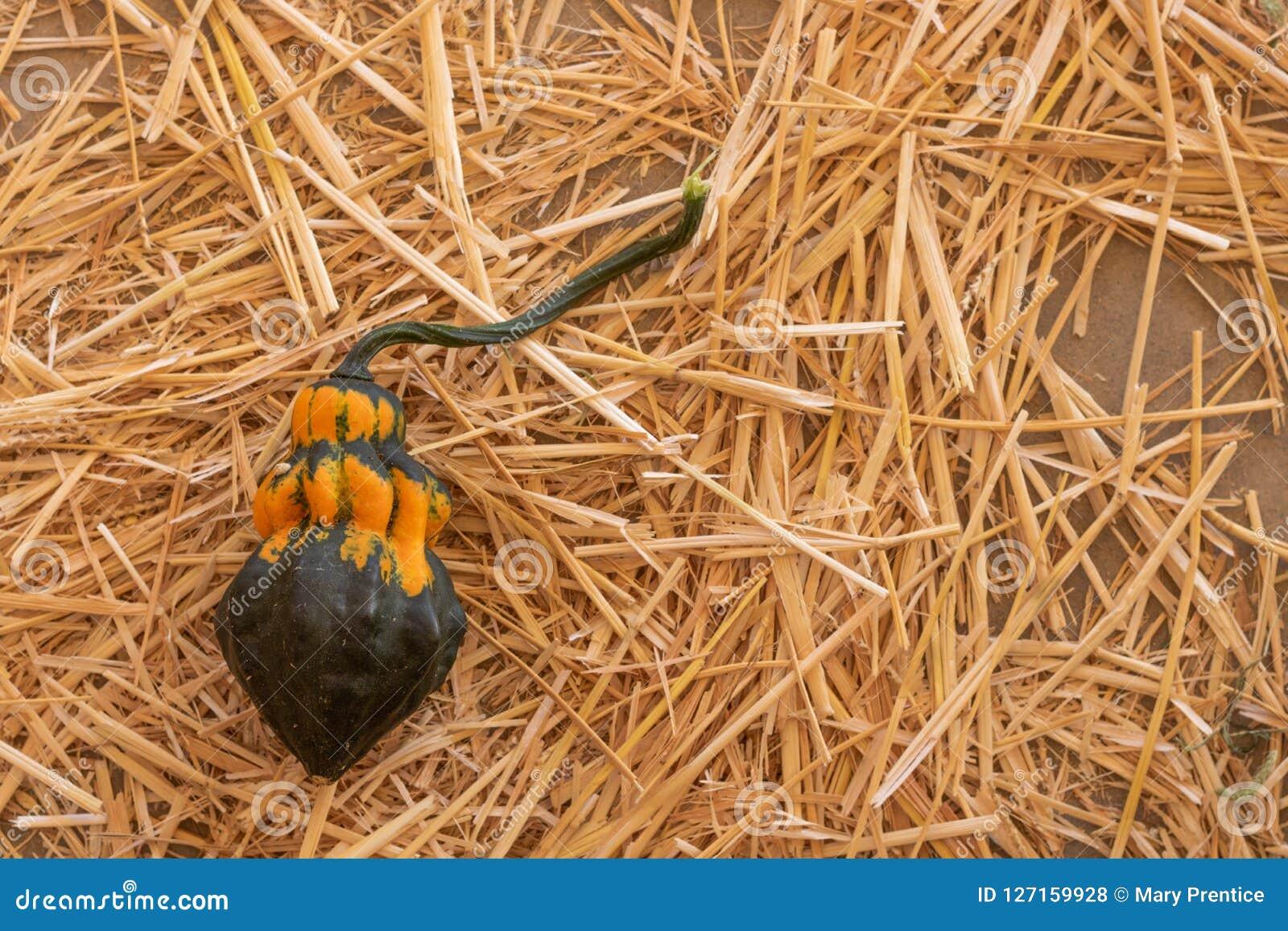 Einzelner schwarzer, orange und grüner Kürbis auf einem Strohlager, Halloween-Danksagungsfallernte-Herbsthintergrund