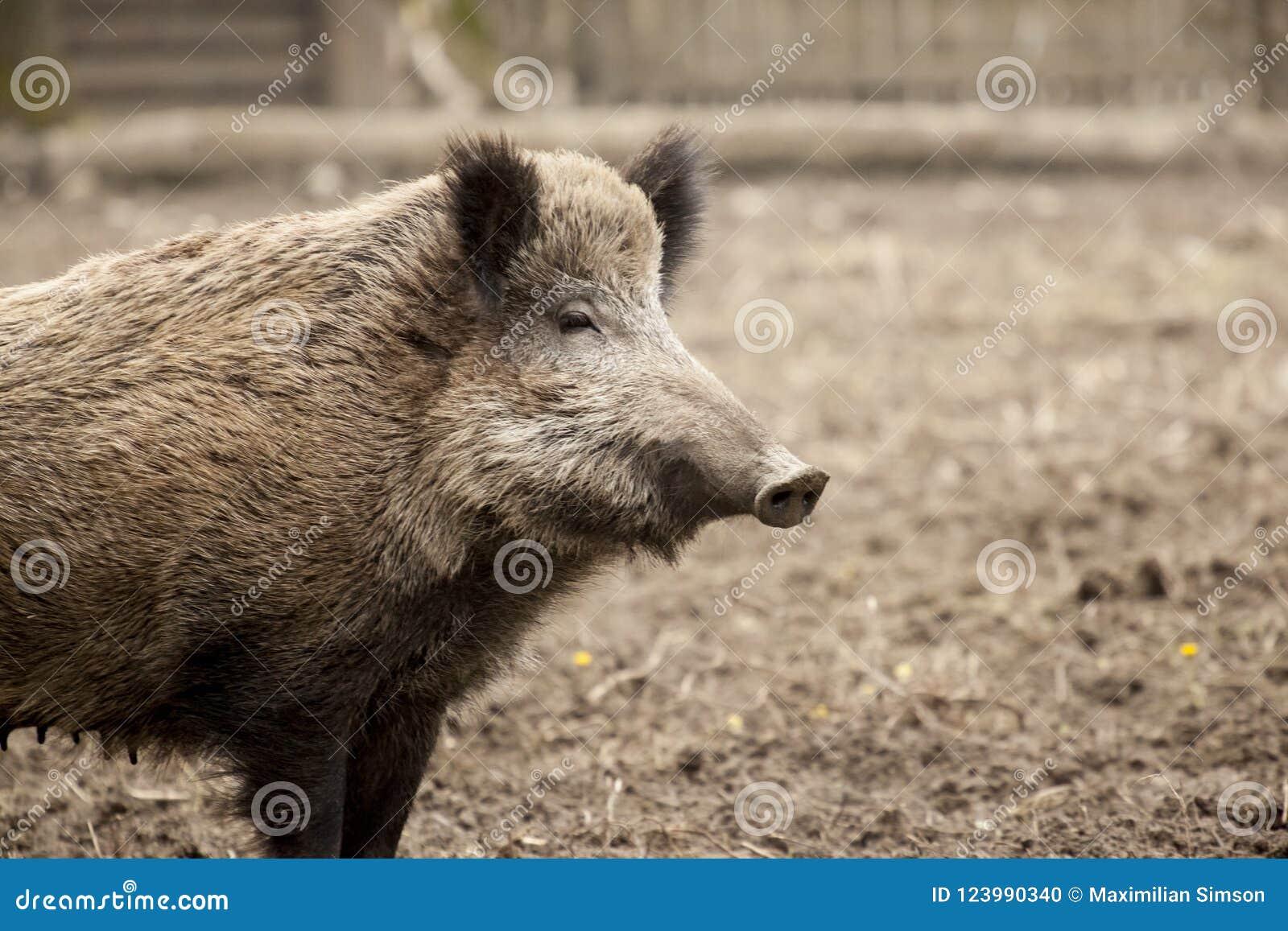 Einzelnes Eberwildschwein im organischen respektvollen Liebkosungsbauernhof