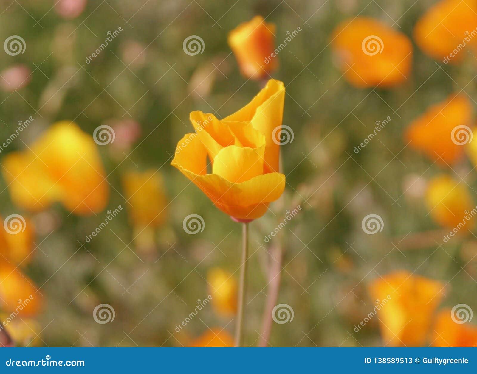Einzelnes gekräuseltes Kalifornien Poppy Flower