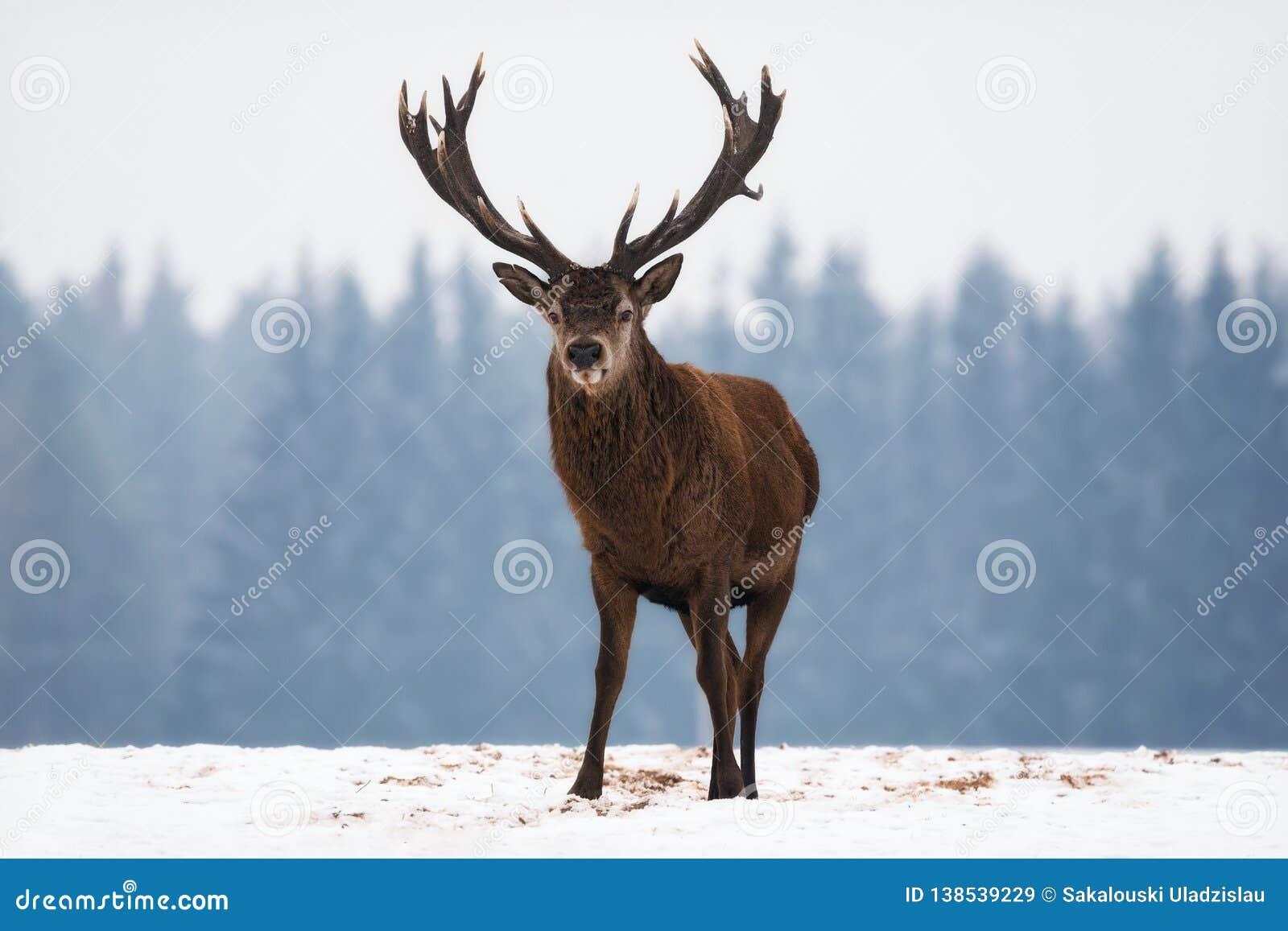 Einzelnes verletztes erwachsenes edles Rotwild mit großen schönen Hörnern bei blauem Forest Background Landschaft der wild lebend