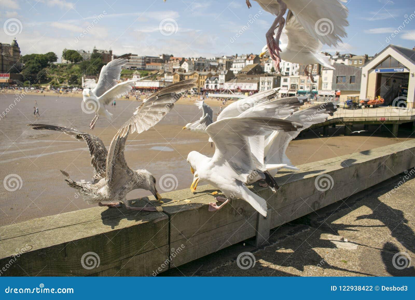 Einziehende Scarborough-Seemöwen, North Yorkshire, England, Vereinigtes Königreich