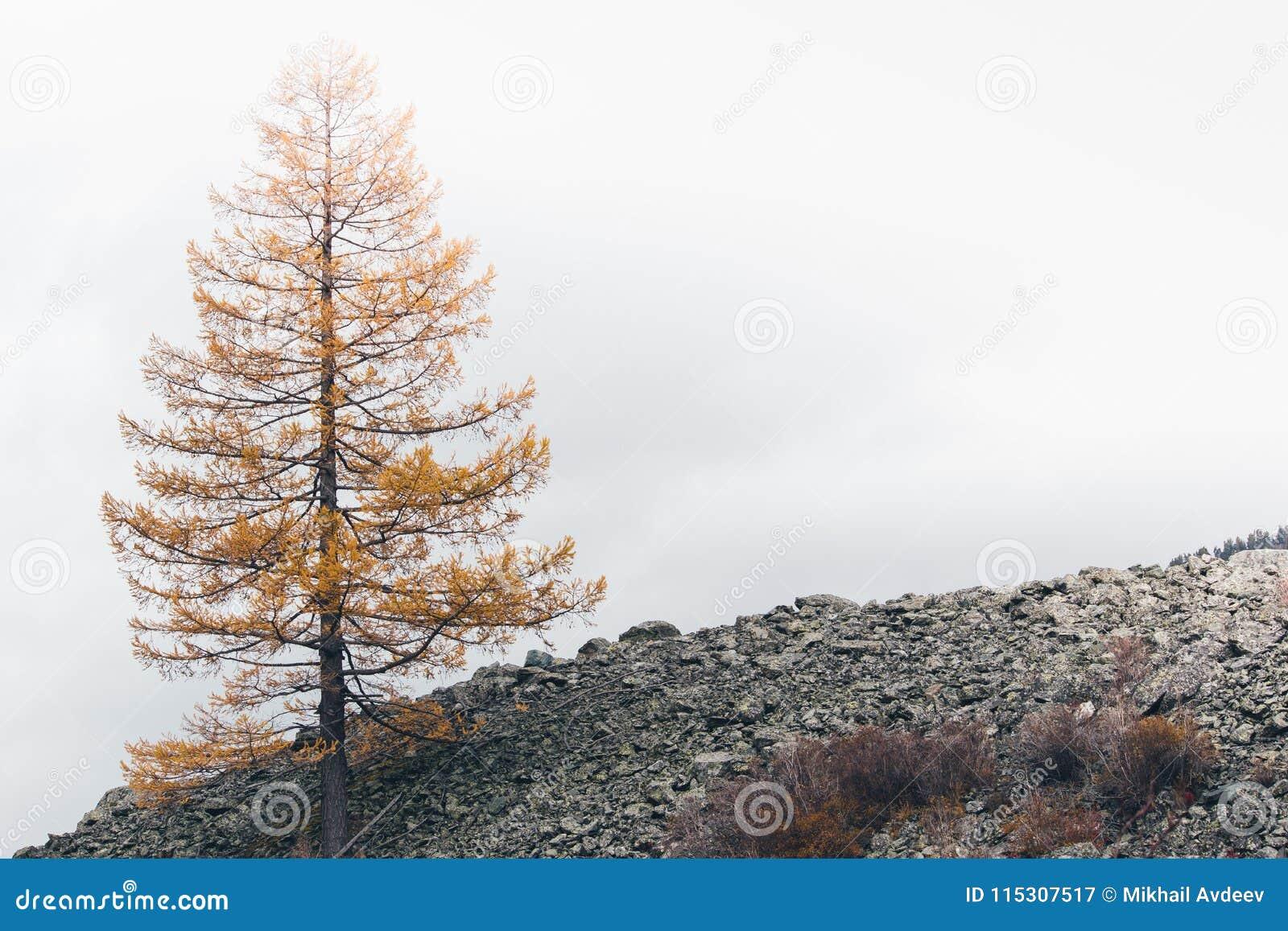 Einziger gelber Lärchenbaum
