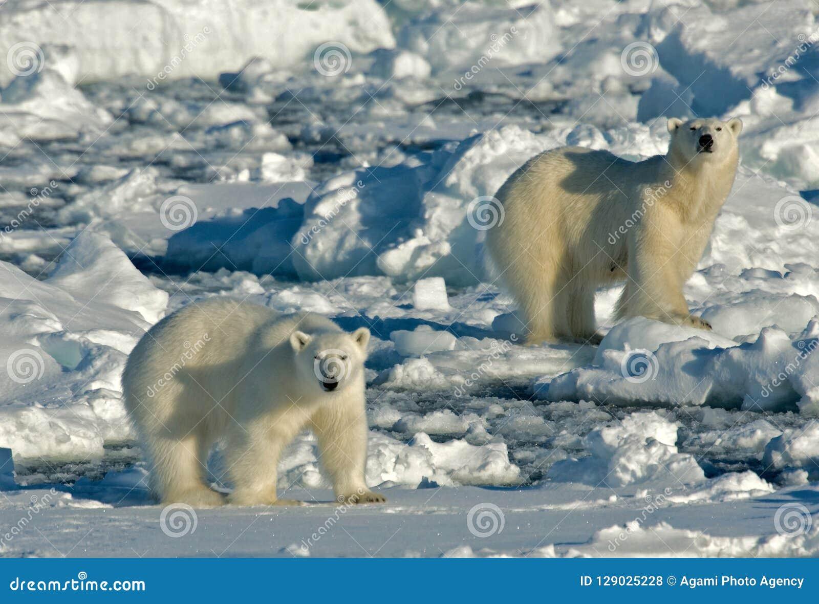 Eisbär, IJsbeer, Ursus maritimus