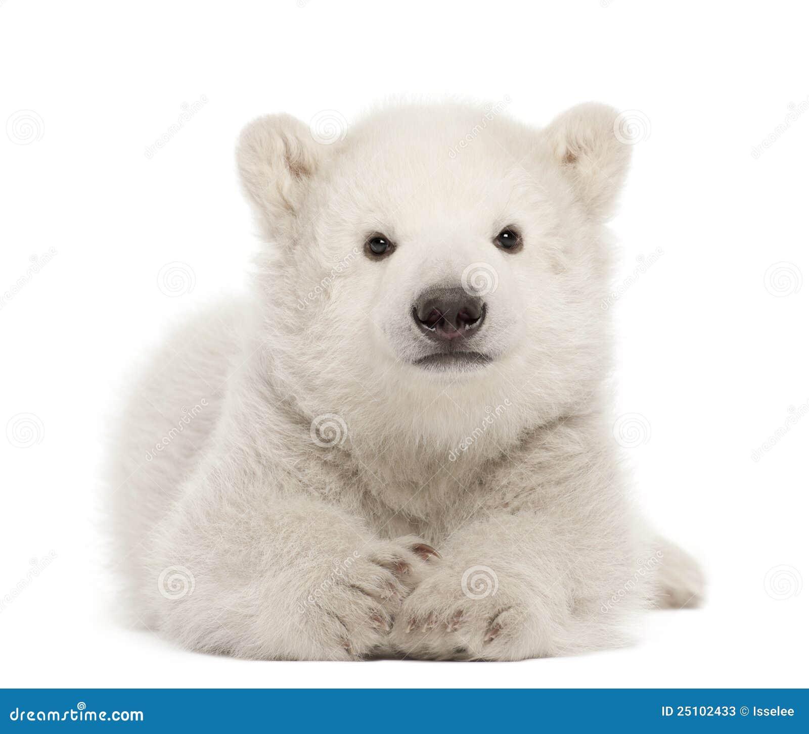 Eisbärjunges, Ursus maritimus, 3 Monate alte