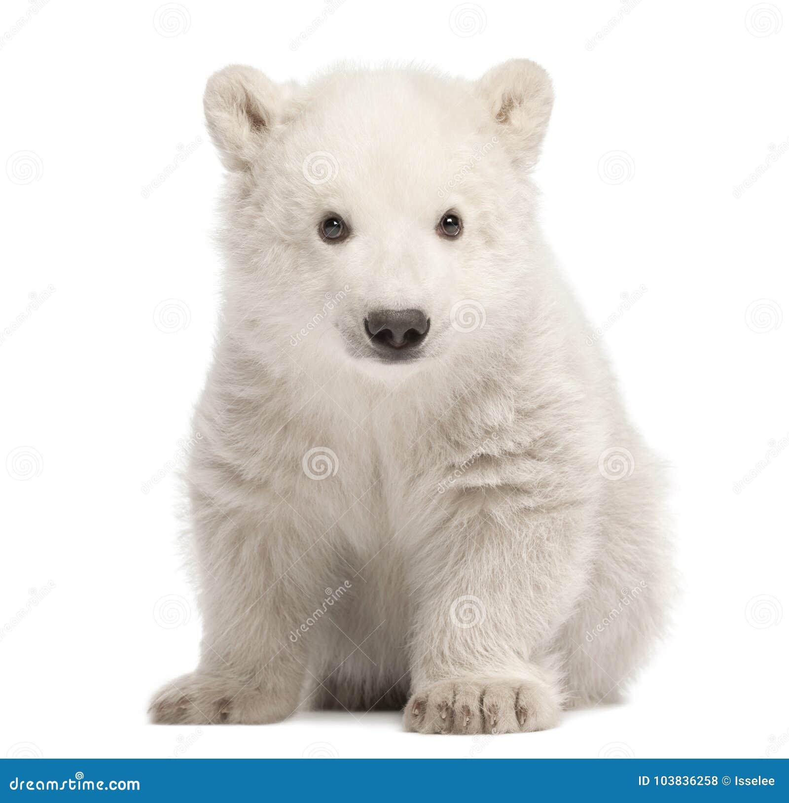 Eisbärjunges, Ursus maritimus, 3 Monate alte, sitzend gegen w