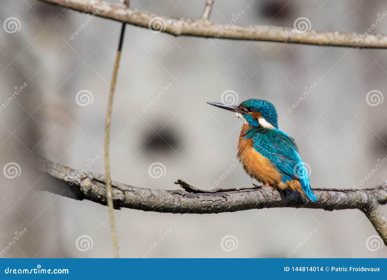 Eisvogel hockte auf einem Zweig
