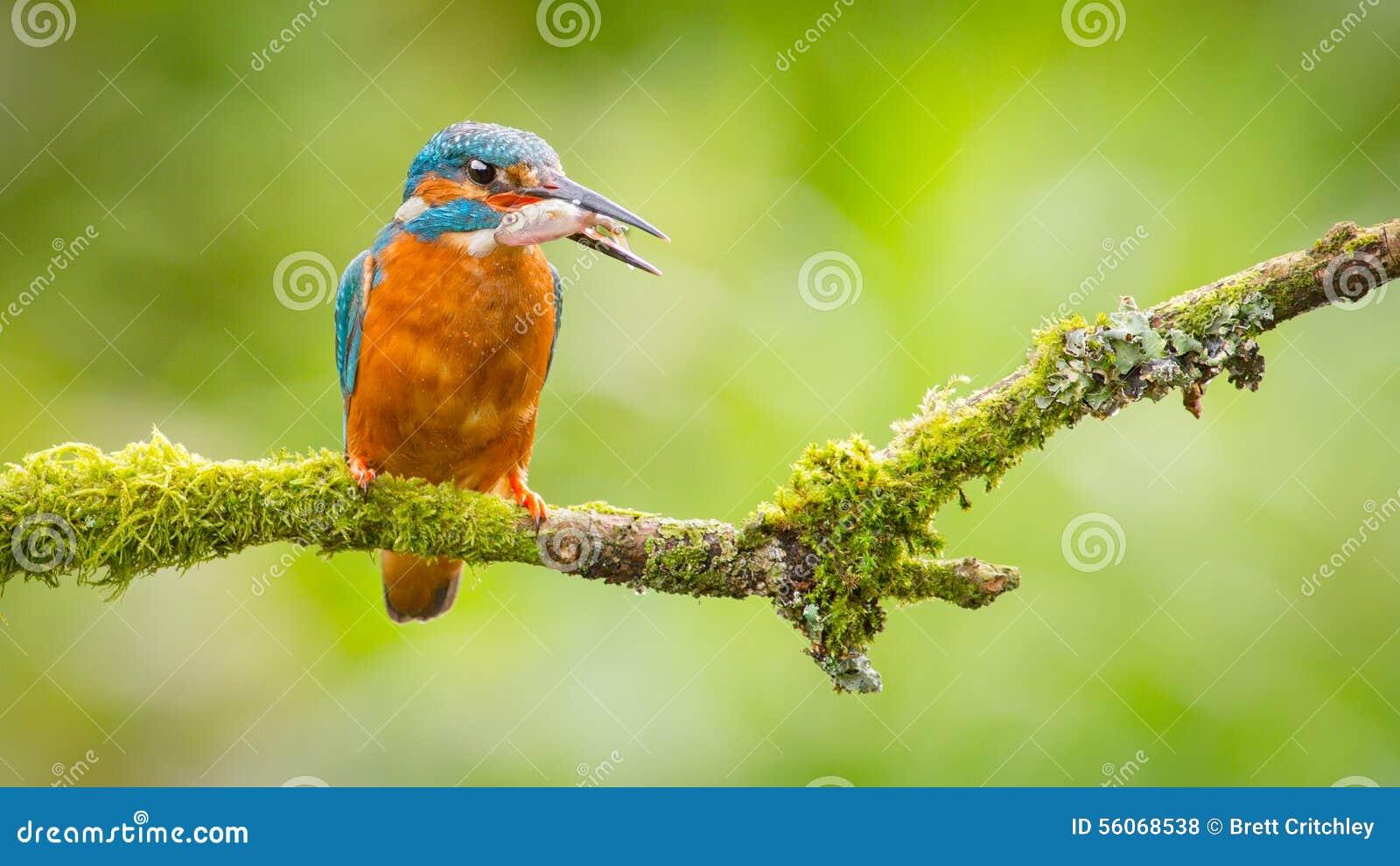 Eisvogelvogel mit Fischen