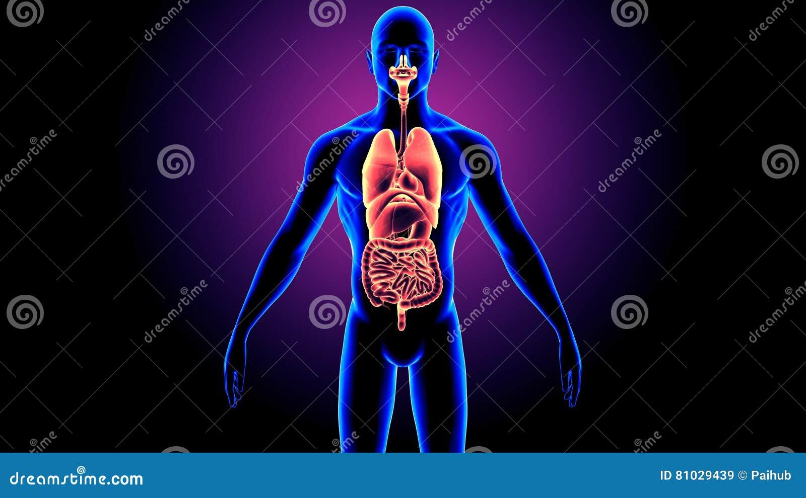 Ejemplo 3D De La Anatomía De Los órganos Del Cuerpo Humano Stock de ...