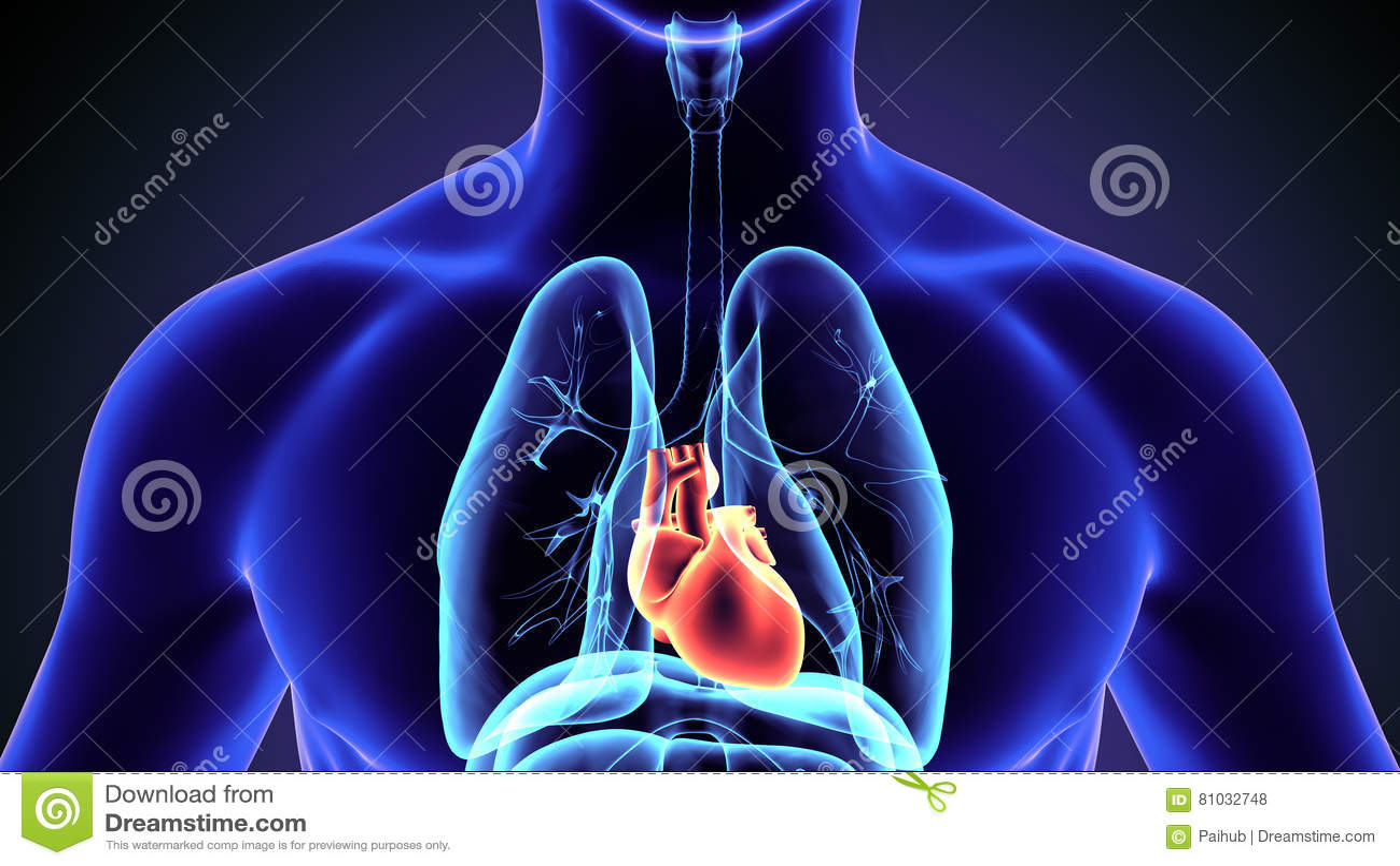 Ejemplo 3d De La Anatomía Del Corazón Del Cuerpo Humano Stock de ...
