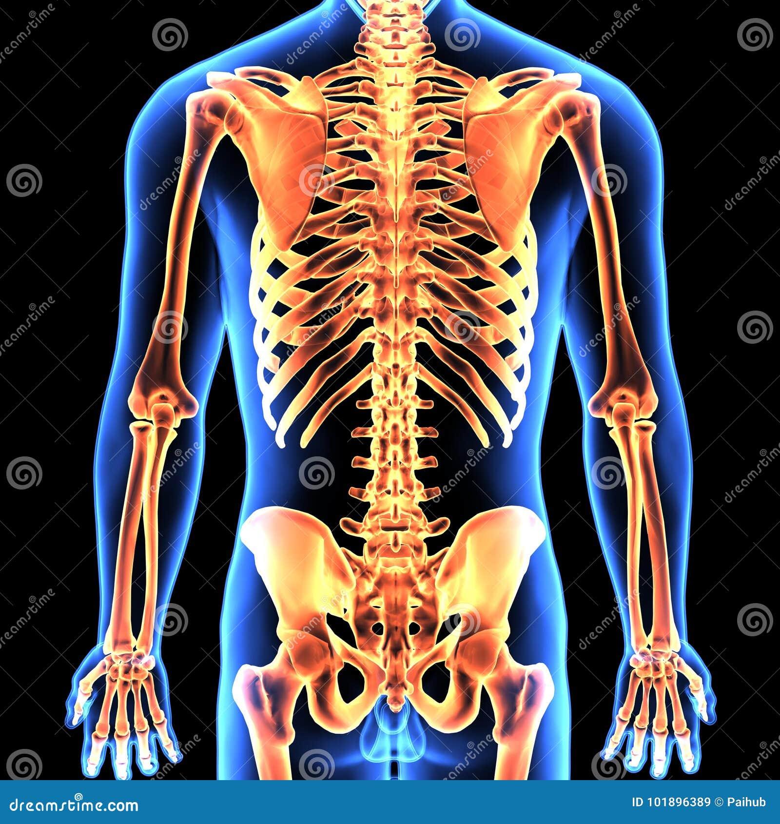 Ejemplo 3d De La Anatomía Del Esqueleto Del Cuerpo Humano Stock de ...