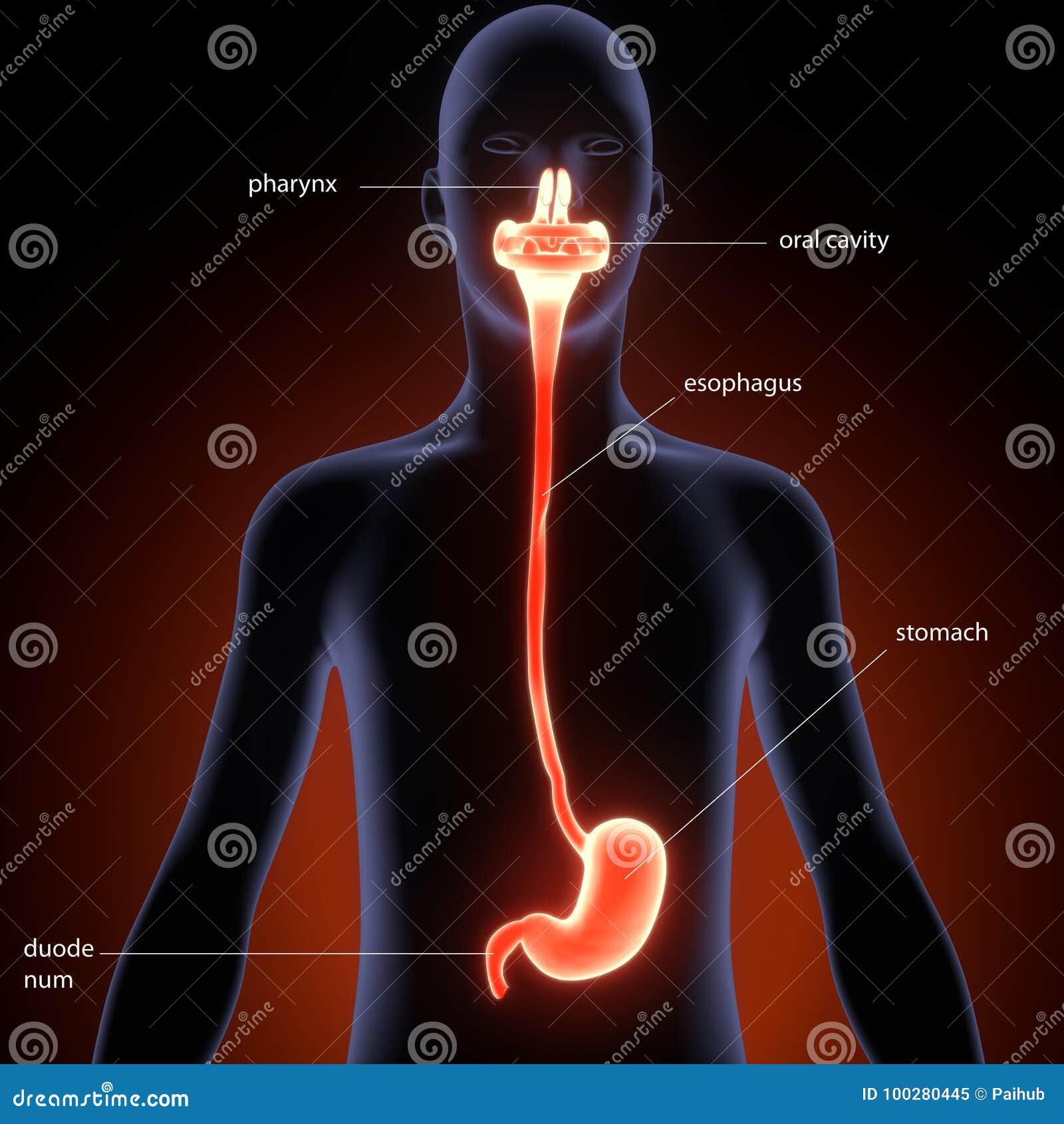Ejemplo 3d De La Anatomía Del Estómago Del Cuerpo Humano Stock de ...
