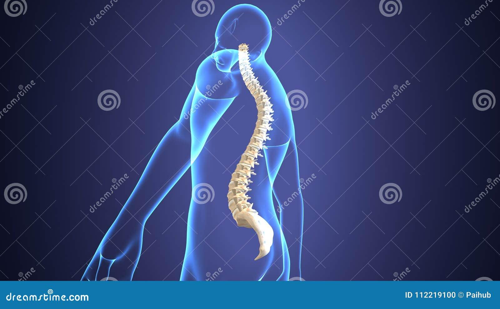 Ejemplo 3d De La Anatomía Espinal Del Hueso Del Cuerpo Humano Stock ...