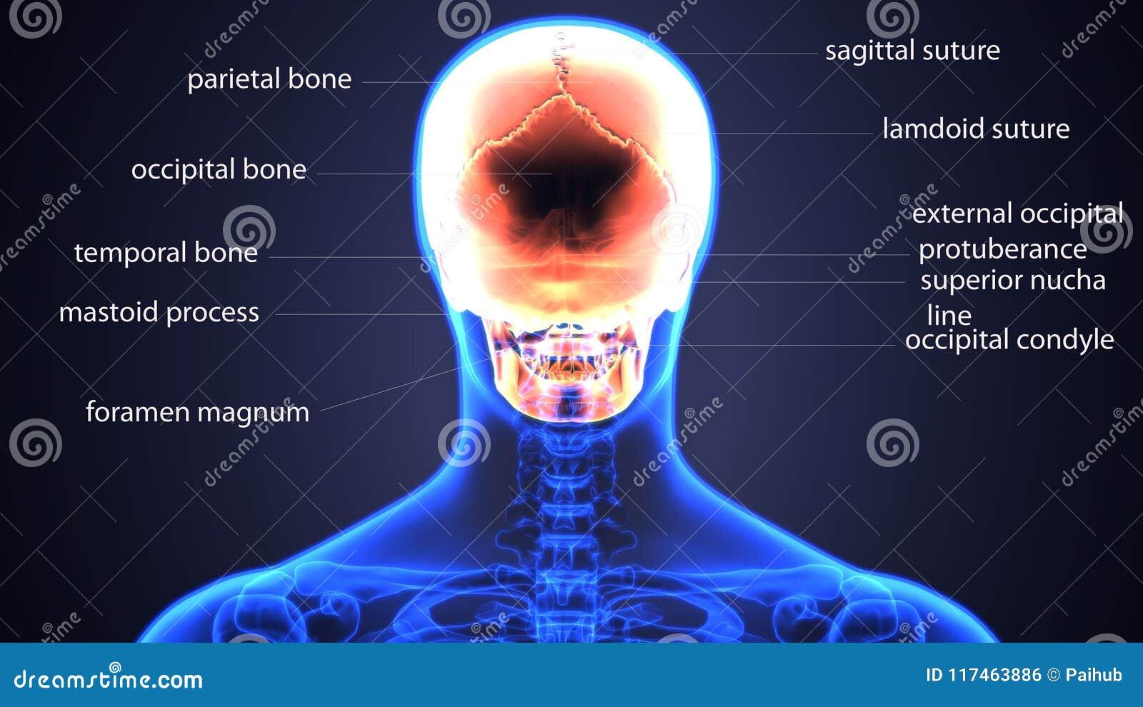 Ejemplo 3D De La Anatomía Esquelética Humana Del Cráneo Stock de ...
