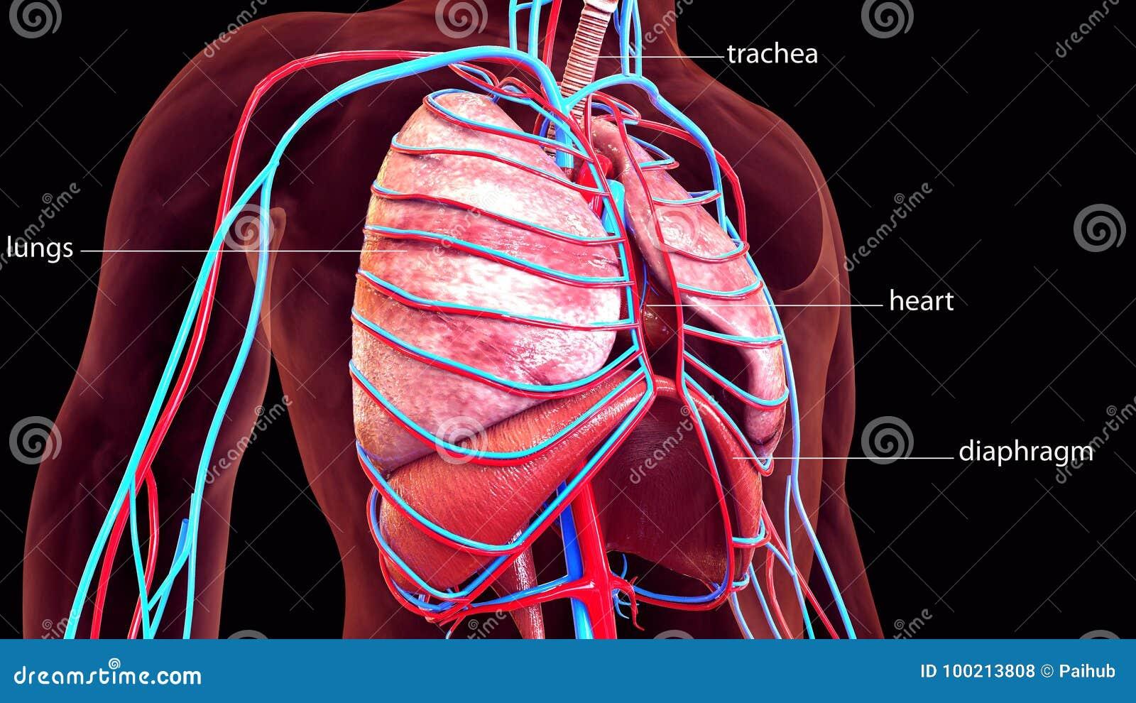 Ejemplo 3d De La Anatomía De Los Pulmones Del Cuerpo Humano Stock de ...