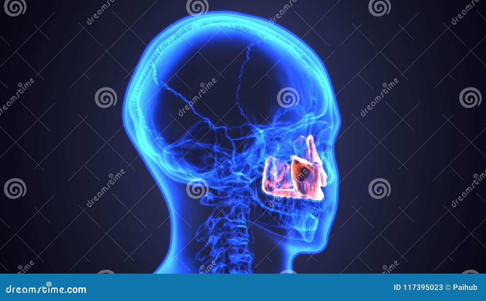 Ejemplo 3d De La Anatomía Masculina Del Cráneo Del Hueso Zigomático ...