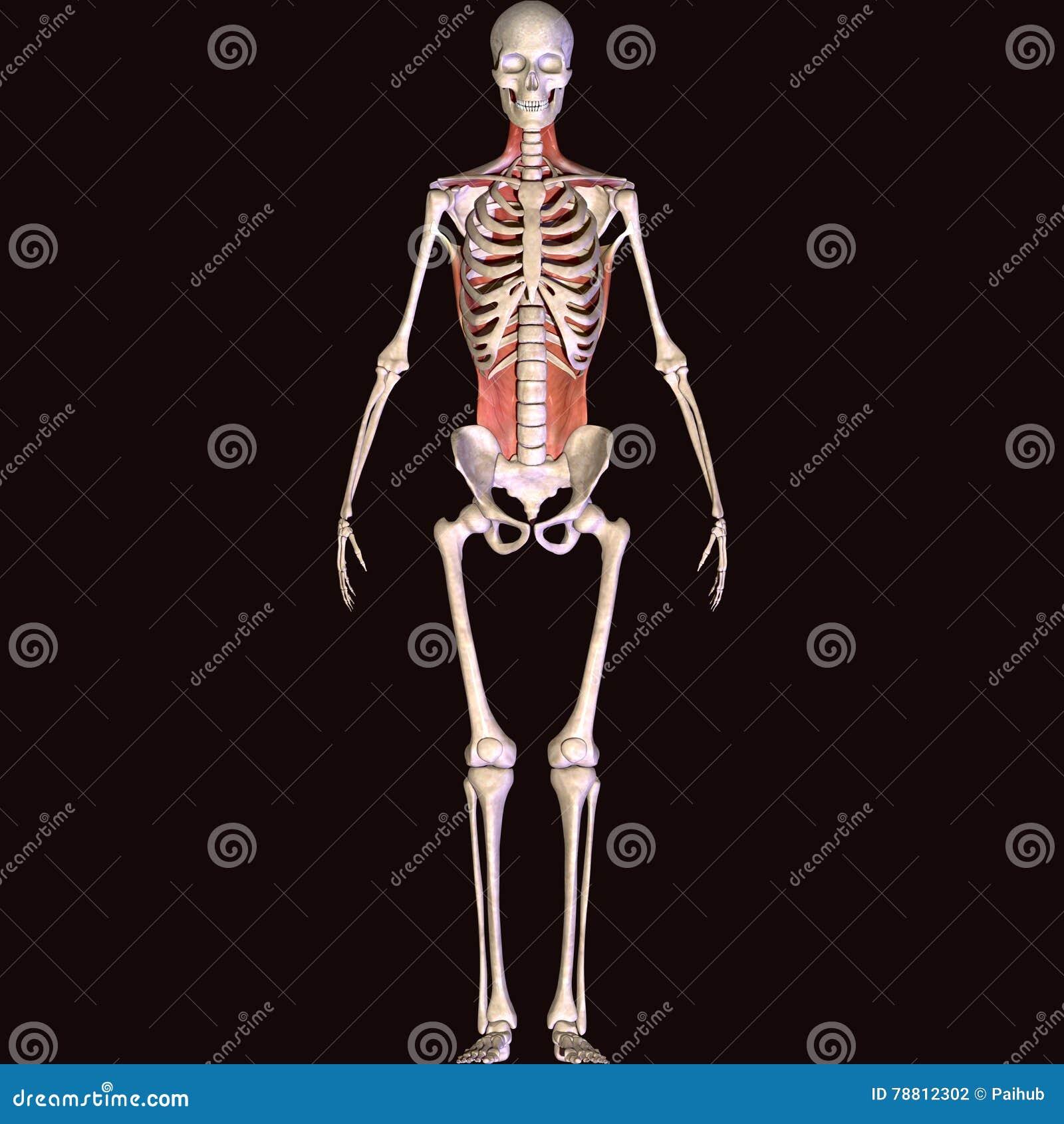 Ejemplo 3D De Músculos Y De La Anatomía Stock de ilustración ...