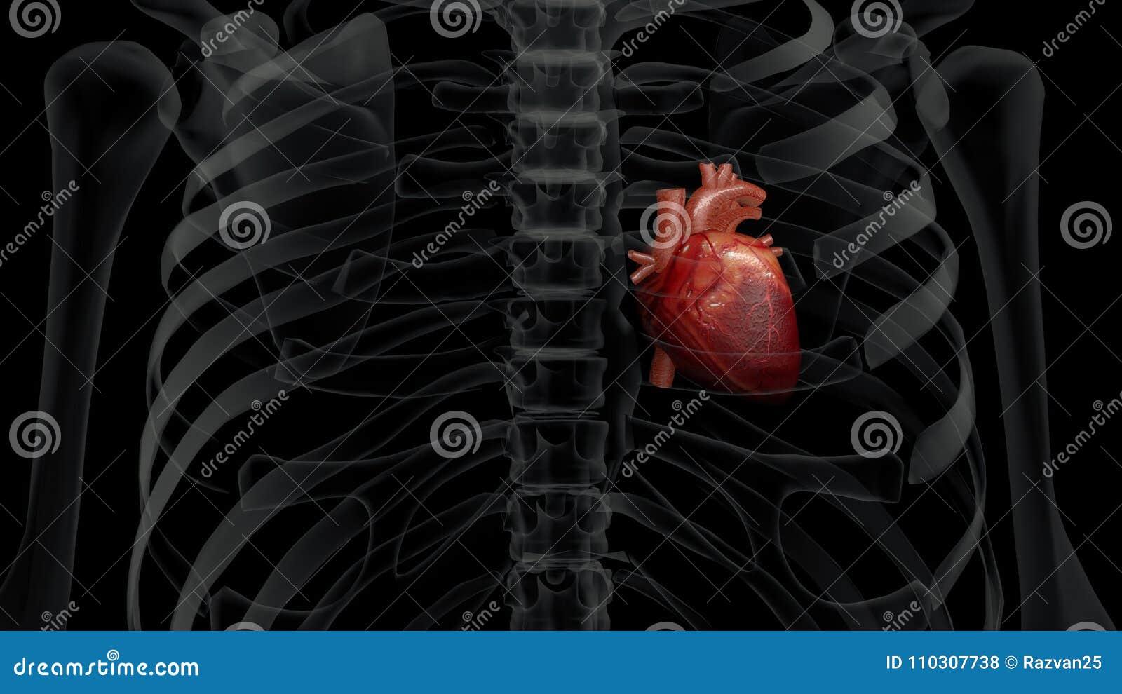 Ejemplo 3D De Un Pecho Humano De La Radiografía Y De Un Corazón ...