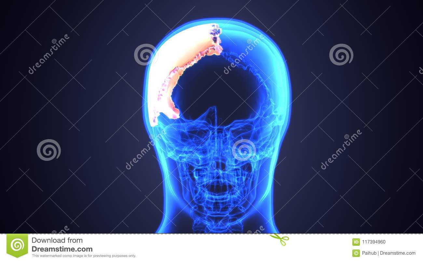 Ejemplo 3d Del Diagrama Humano De La Anatomía Del Cráneo | Periódico ...