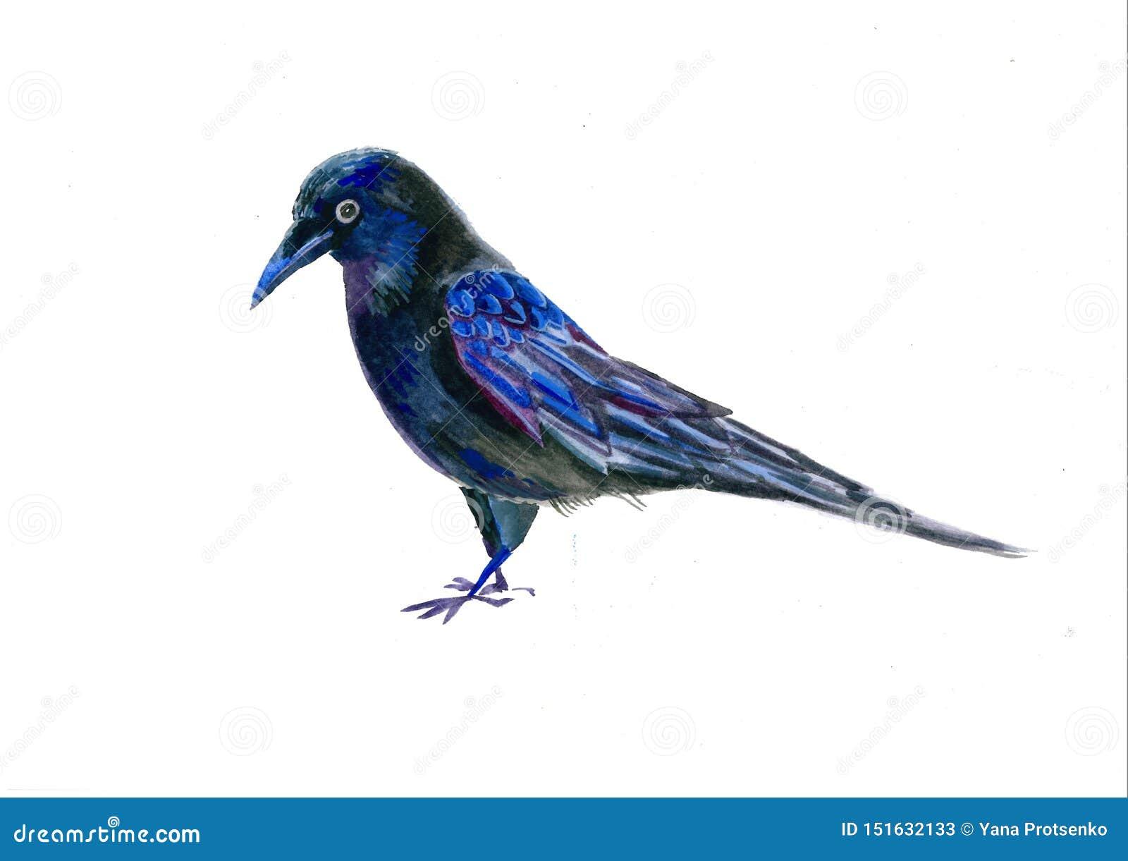 Ejemplo de la acuarela del cuervo Cuervo negro que vuela aislado en el fondo blanco