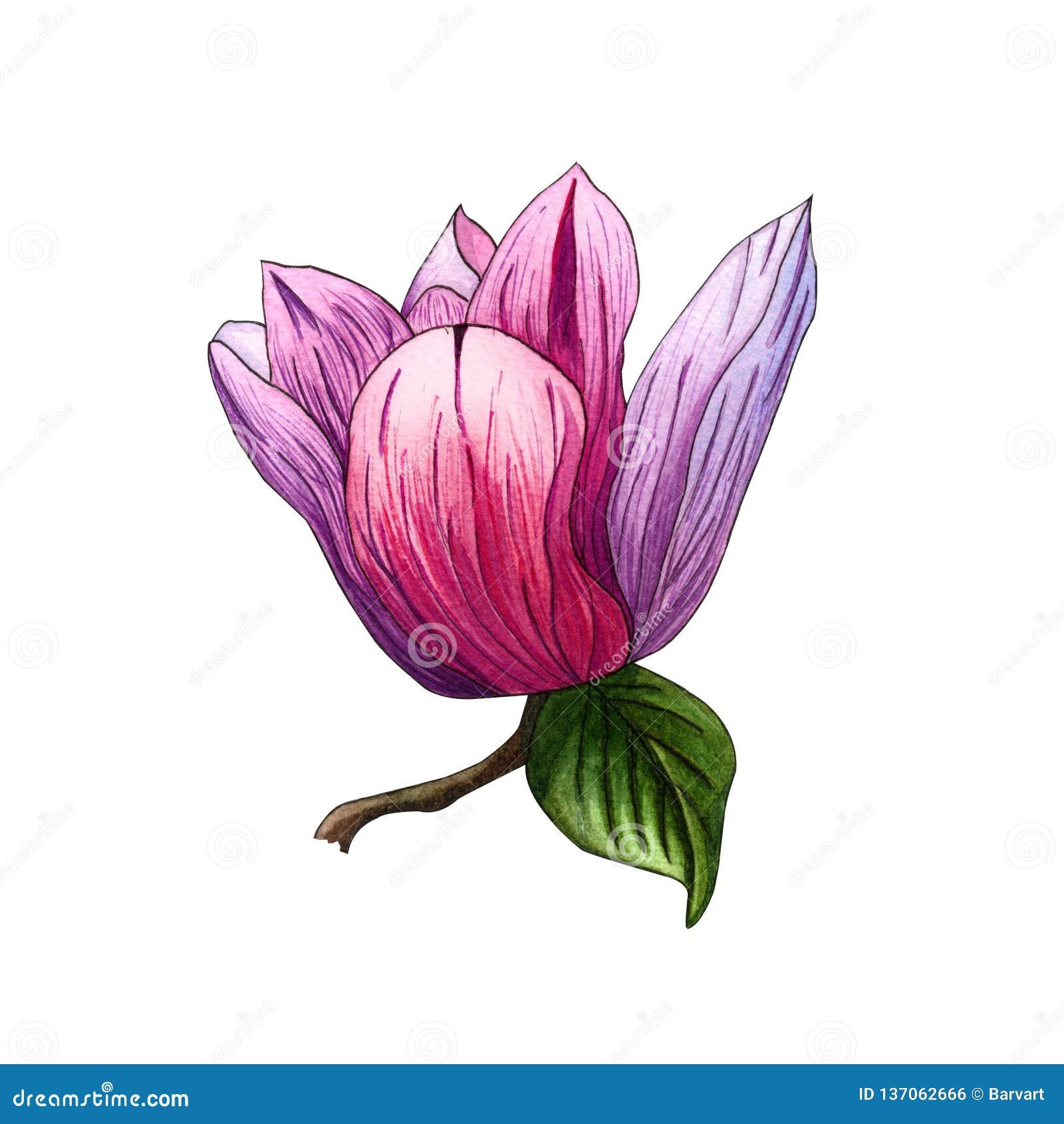Ejemplo de la acuarela de las flores rosadas de la magnolia Rama de la magnolia con las flores y las hojas