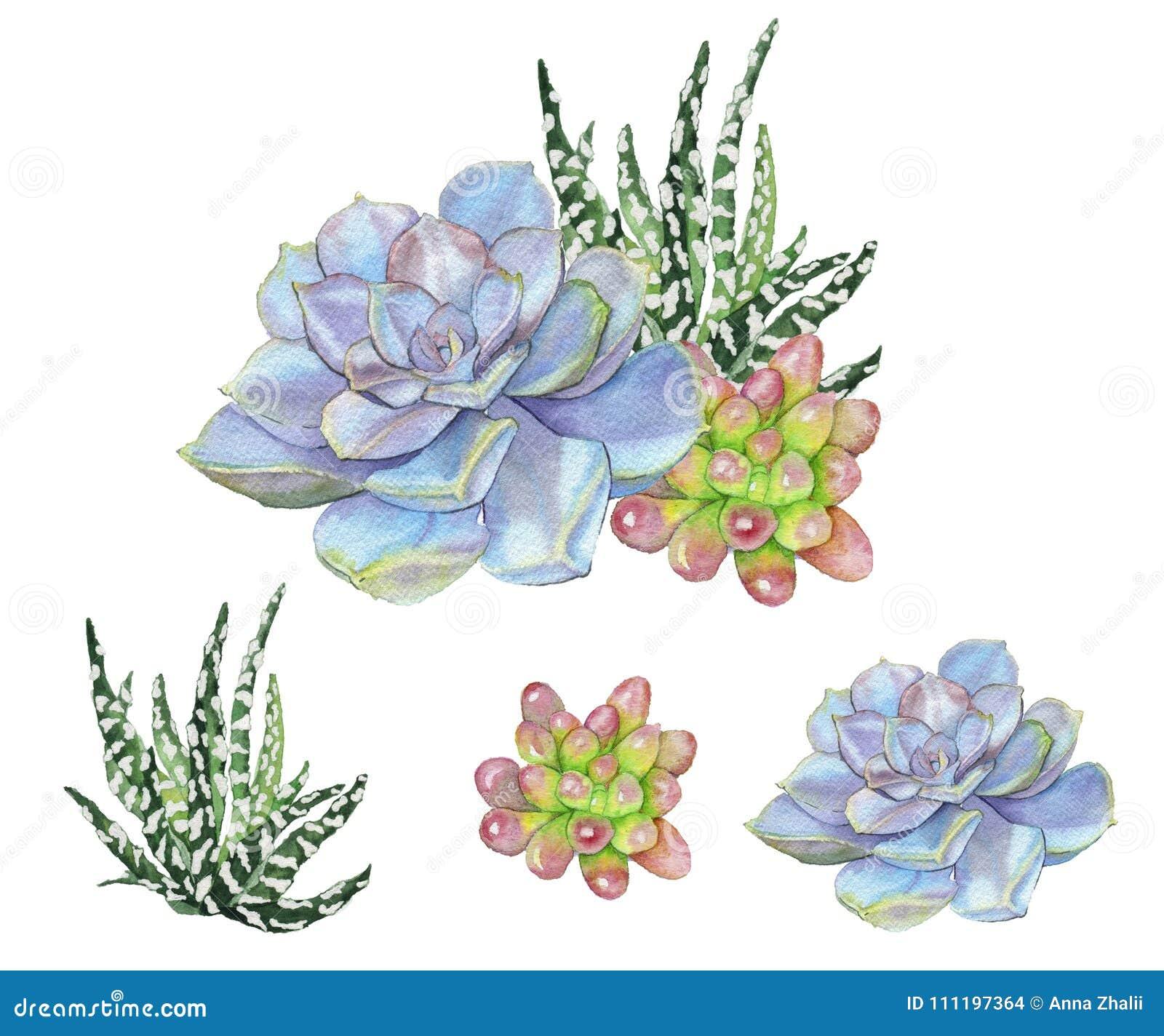 Ejemplo de la acuarela de succulents