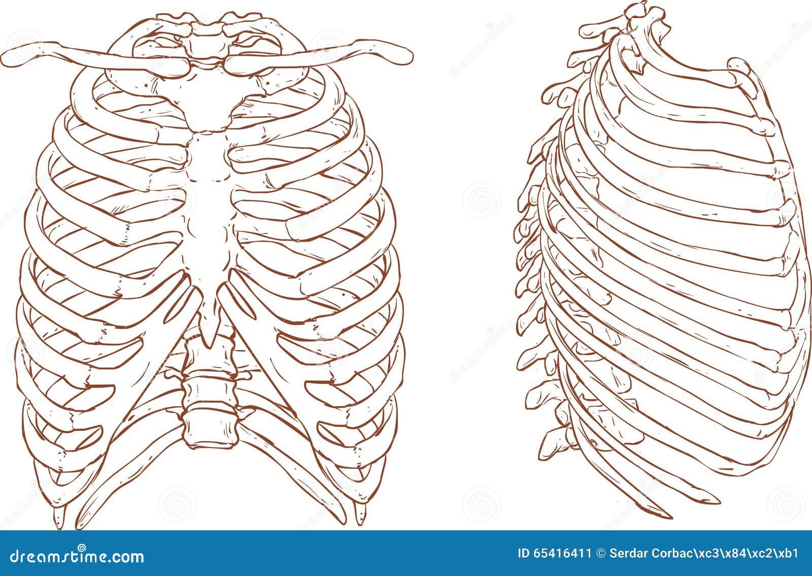 Ejemplo De La Caja Torácica Ilustración del Vector - Ilustración de ...
