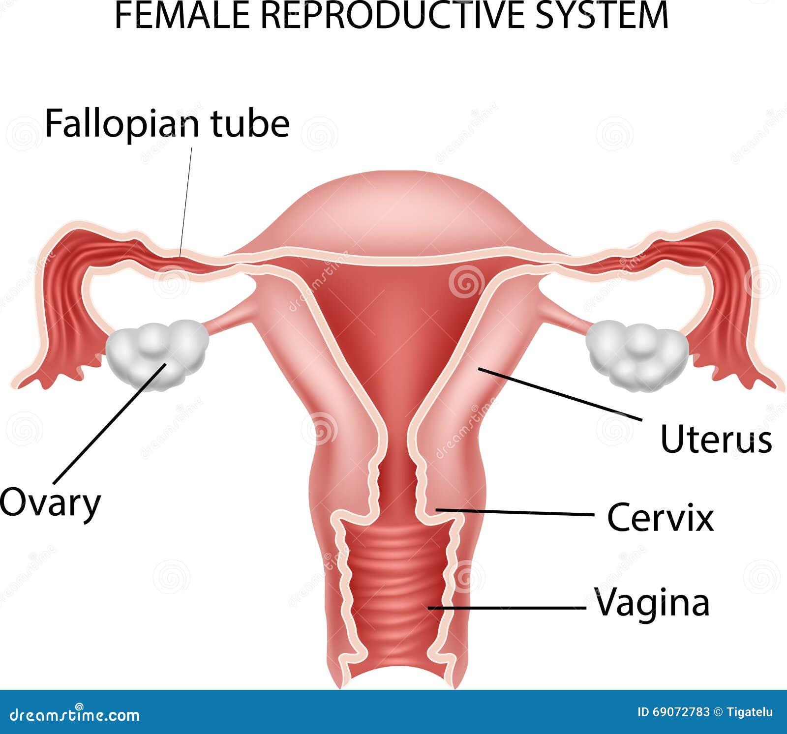 Ejemplo De La Historieta Del Sistema Reproductivo Femenino ...